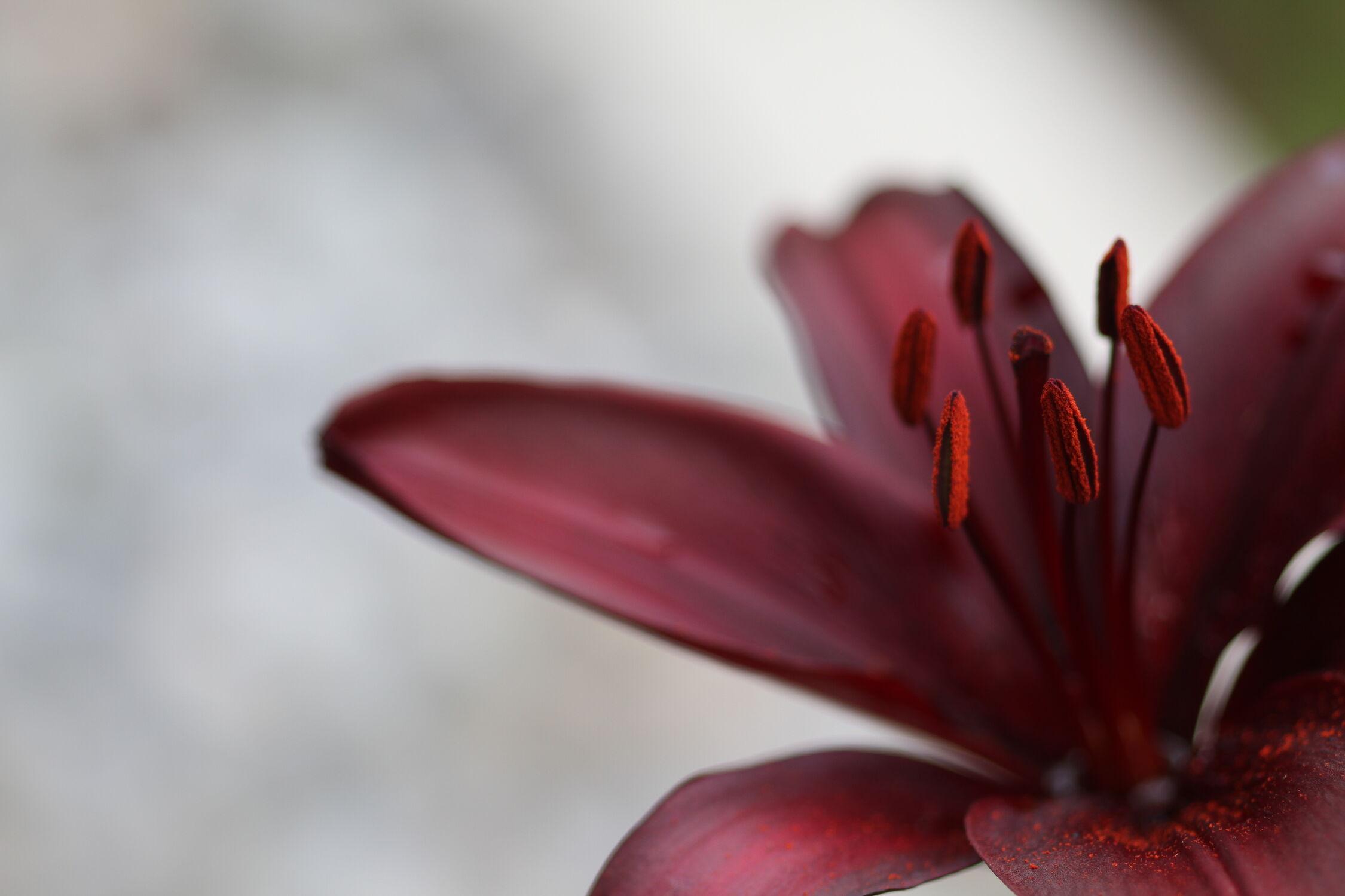 Bild mit Natur, Blumen, Violett, Sommer, Makro, Flower, Lilie, Blüten, Lilienblüte