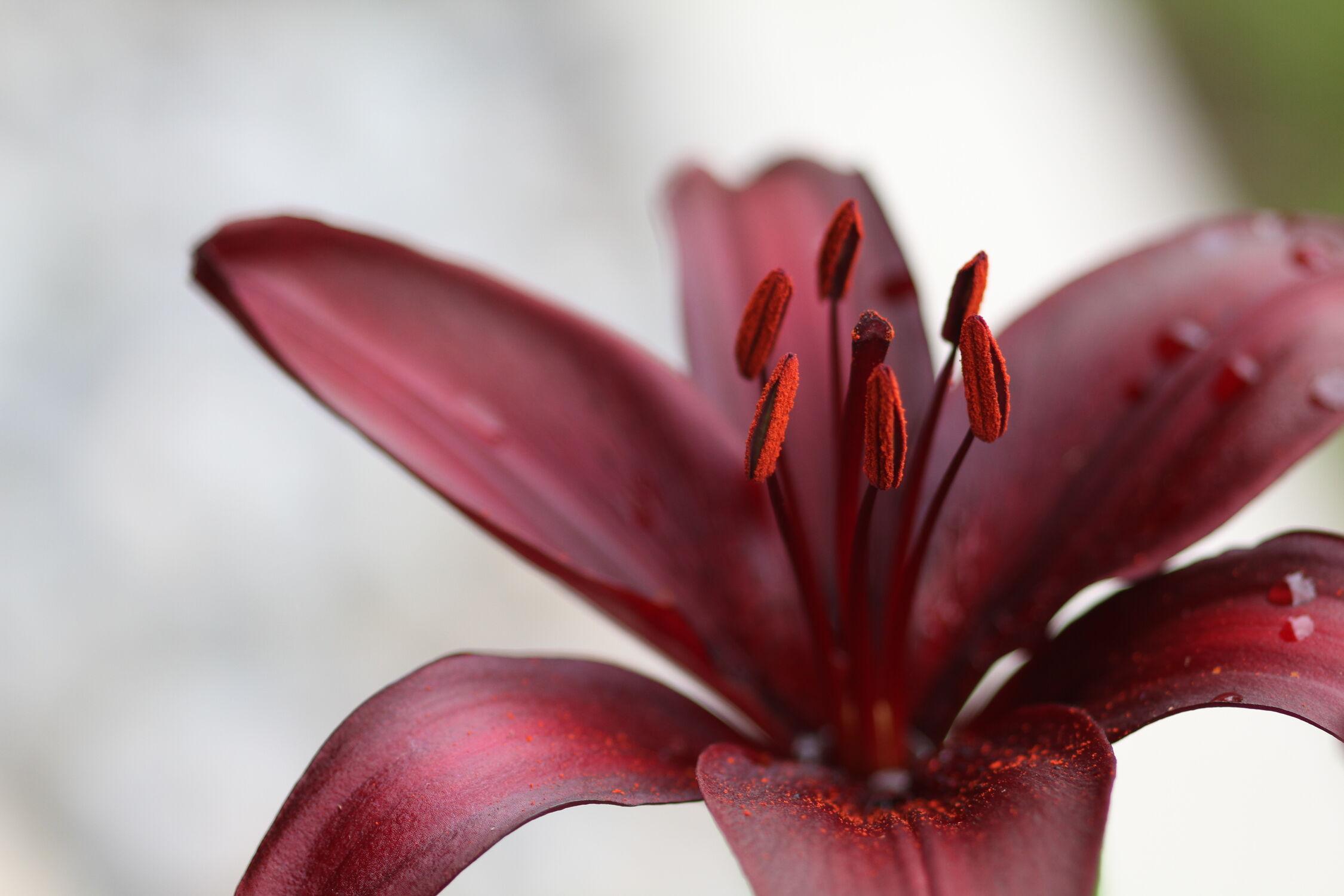 Bild mit Natur, Blumen, Violett, Sommer, Makro, Flower, Regentropfen, Lilie, Blüten, Lilienblüte