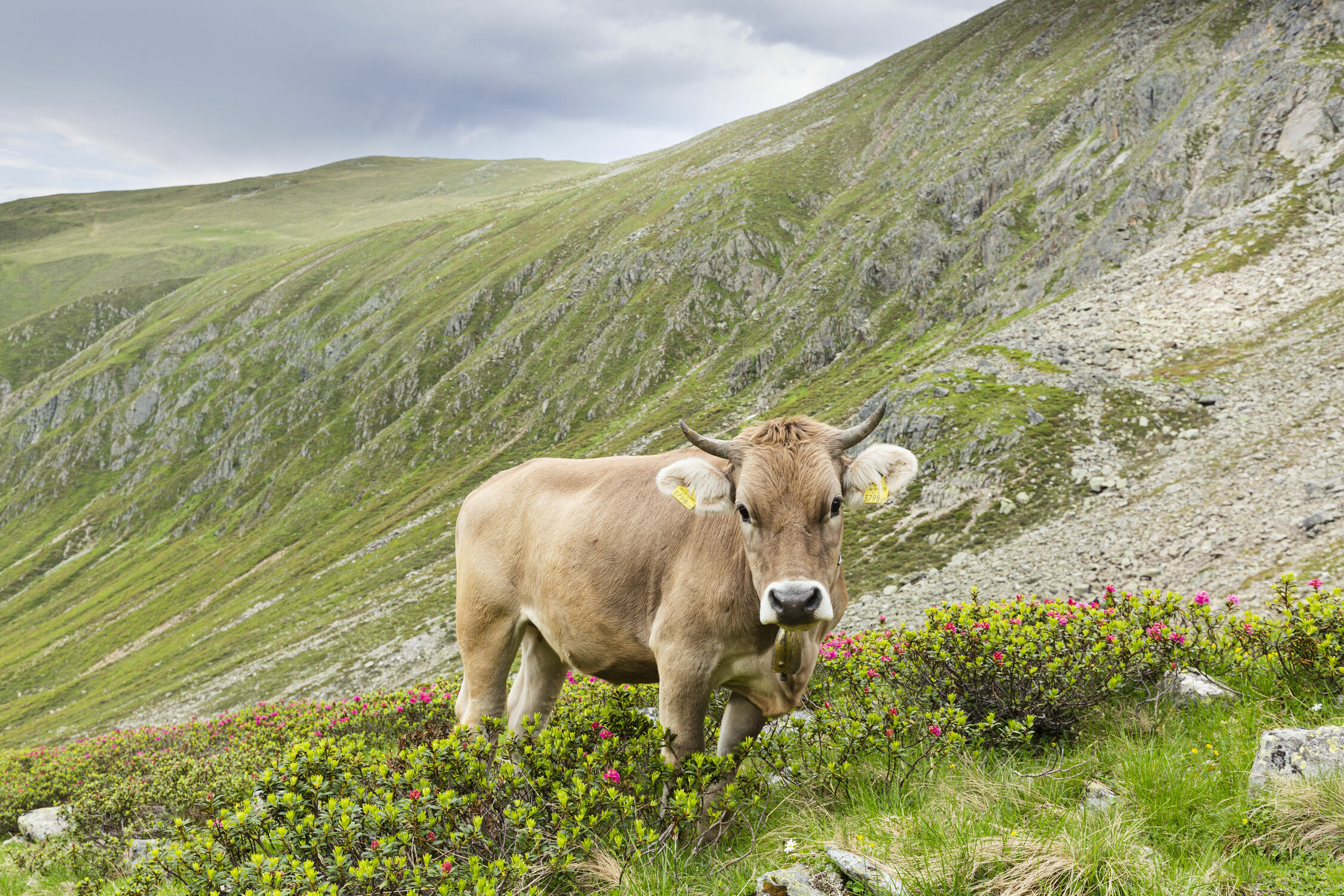 Bild mit Natur, Berge, Wälder, Kühe, Alpen, Alpenland, Wiese, Kuh, alpenwiese, Alpenrose