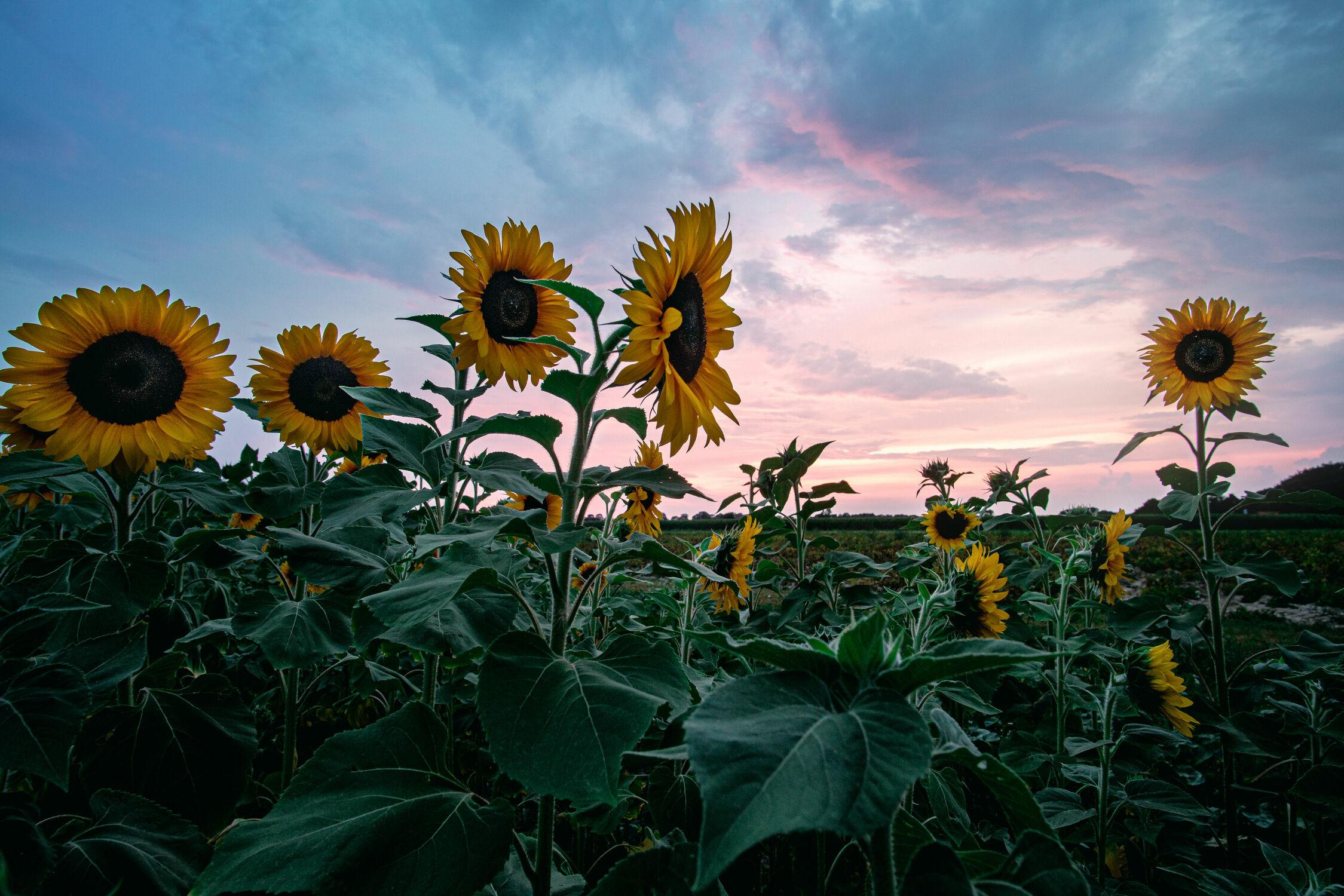Bild mit Natur, Pflanzen, Blumen, Sonnenuntergang, Sonnenaufgang, Abendrot, Sonnenblumen, Landschaft, Feld