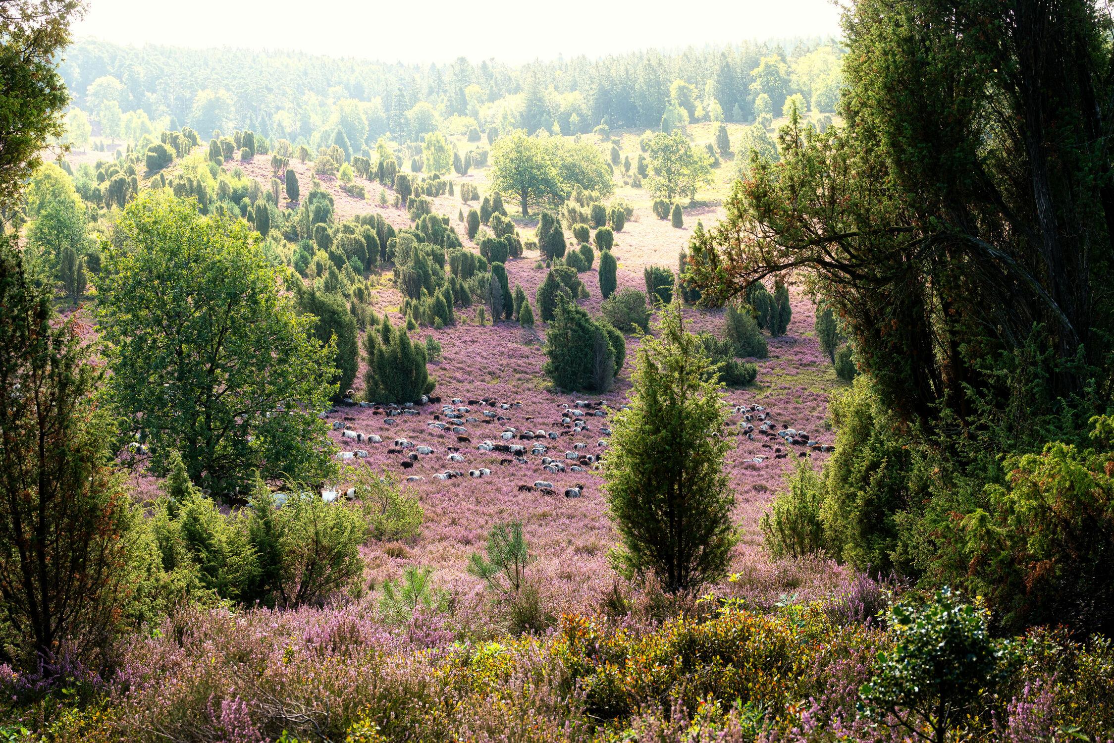 Bild mit Tiere, Natur, Sommer, Sommer, Heide, Schafe, Niedersachsen, Tag, Lüneburger Heide