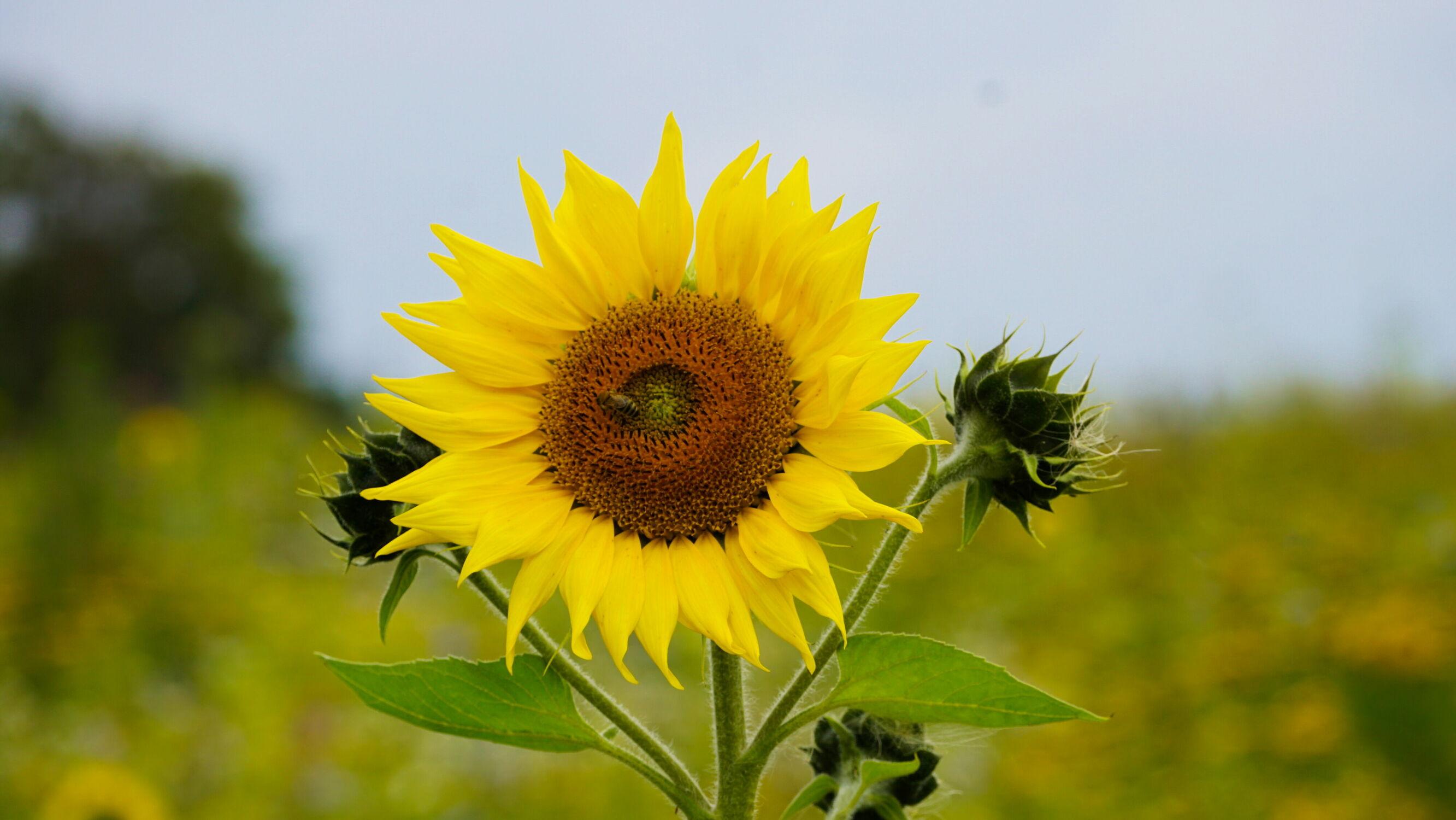 Bild mit Sonnenblumen, Sonnenblume, Sonnenblumenfeld, Sonnenblumenkopf