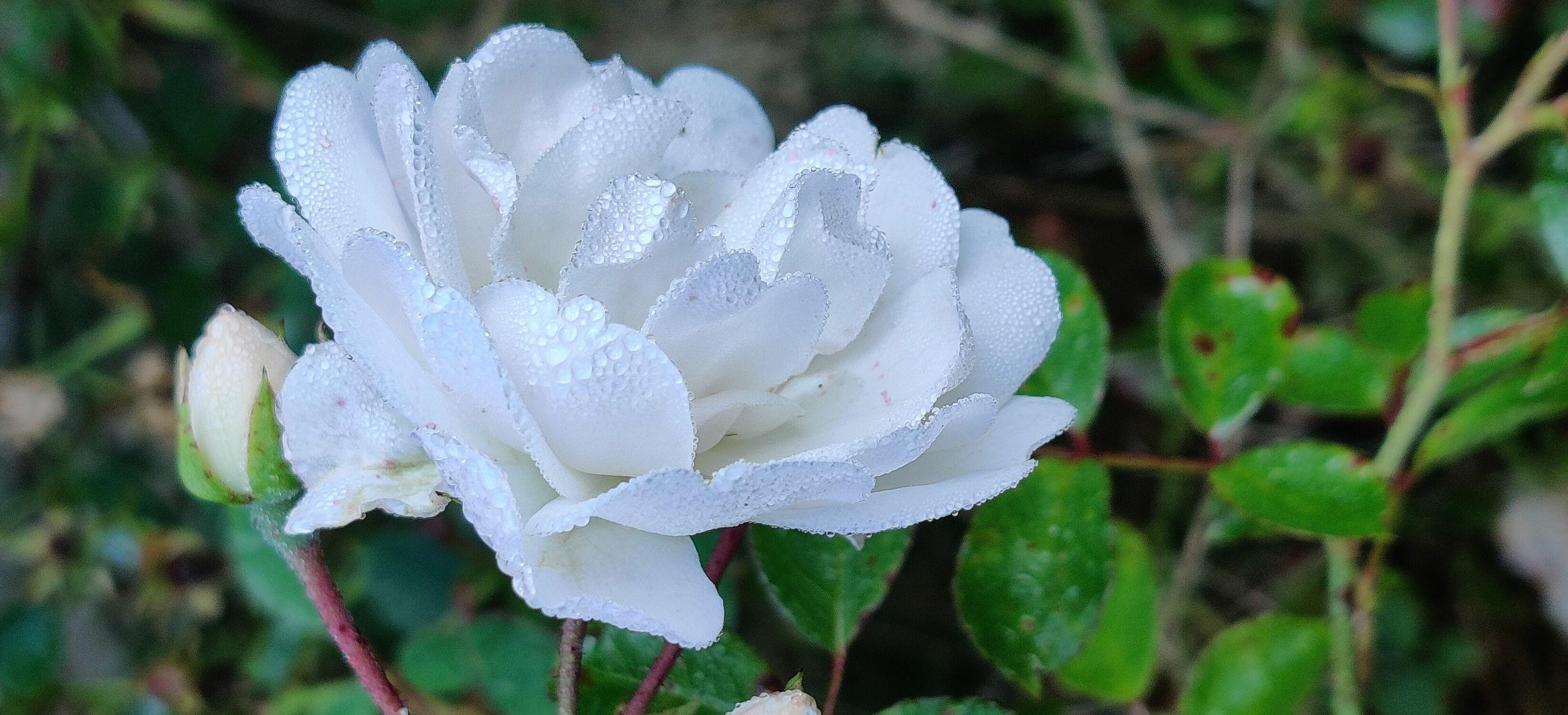 Bild mit Weiß, Rosenblüte, Taupropfen