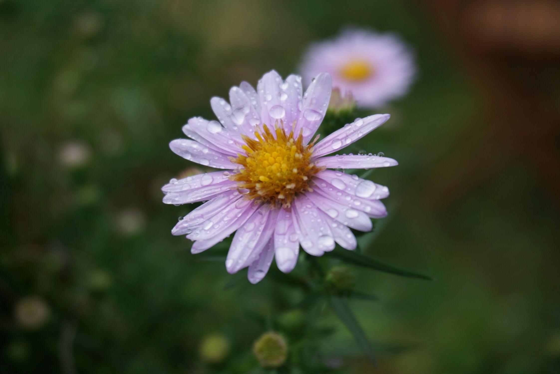 Bild mit Astern, Makrofotografie, Blume, Regentropfen, Herbstaster