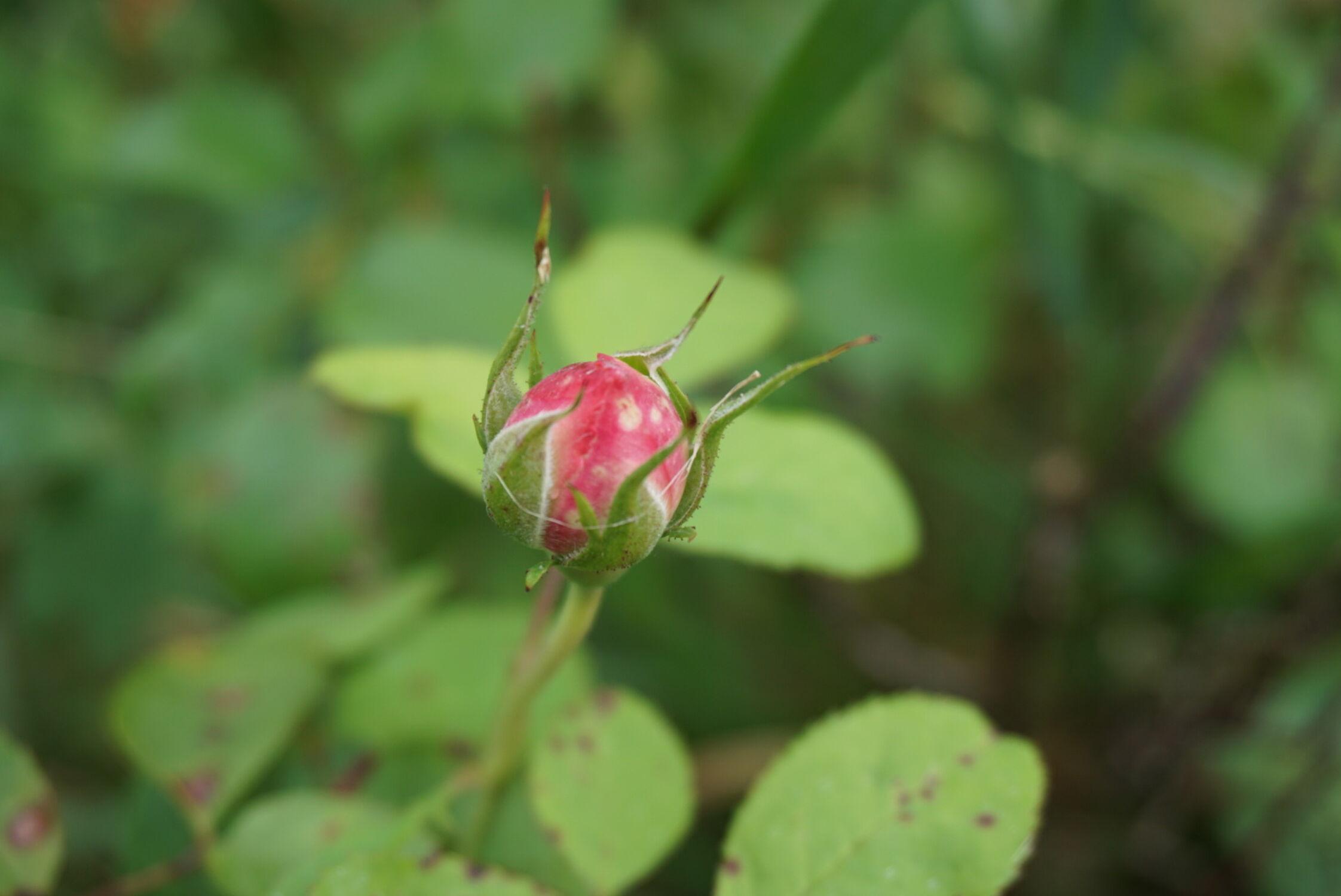 Bild mit Natur, Rose, Makro Rose, Rosenblüte