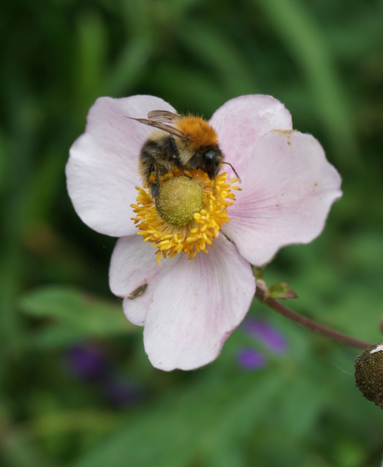 Bild mit Natur, Blumen, Makrofotografie, anemone, Anemonenblüten, hummel