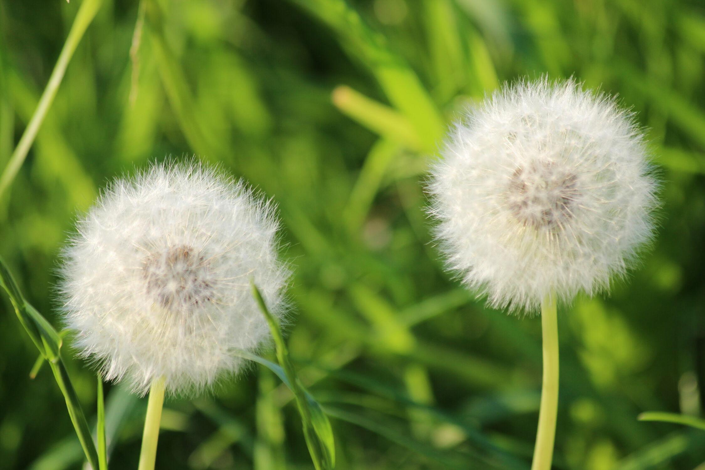 Bild mit Natur, Grün, Sommer, Blume, Pflanze, Löwenzahn, Pusteblumen