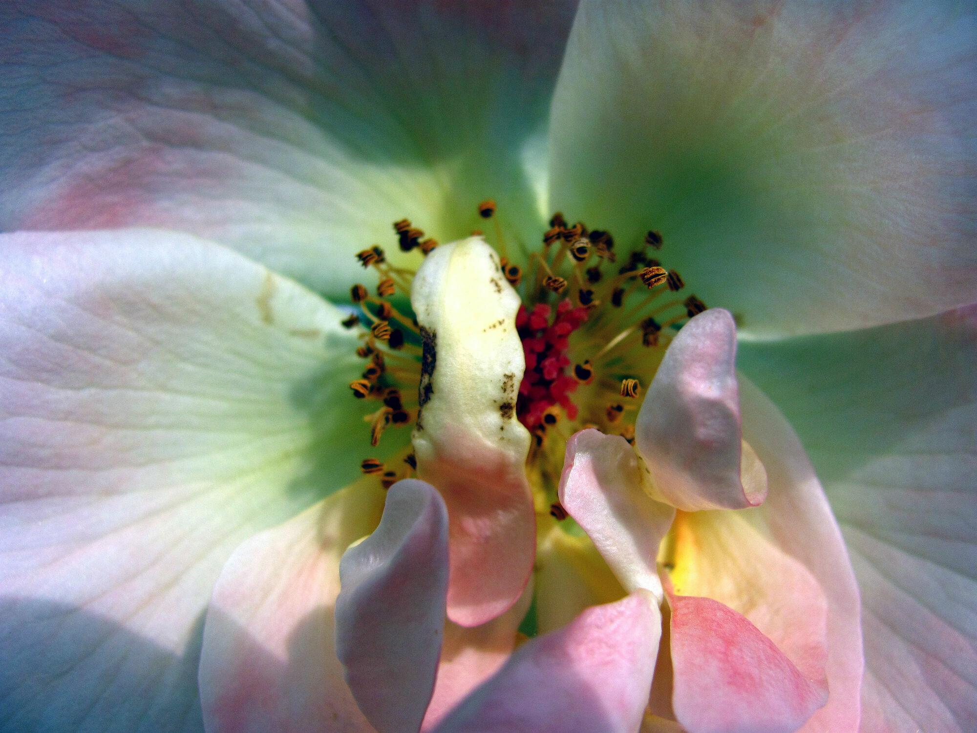 Bild mit Pflanzen, Rosa, Frühling, Rosen, Sommer, Pflanze, Rose, romantik, Schönheit, Blüten, blüte, frühjahr, Liebe