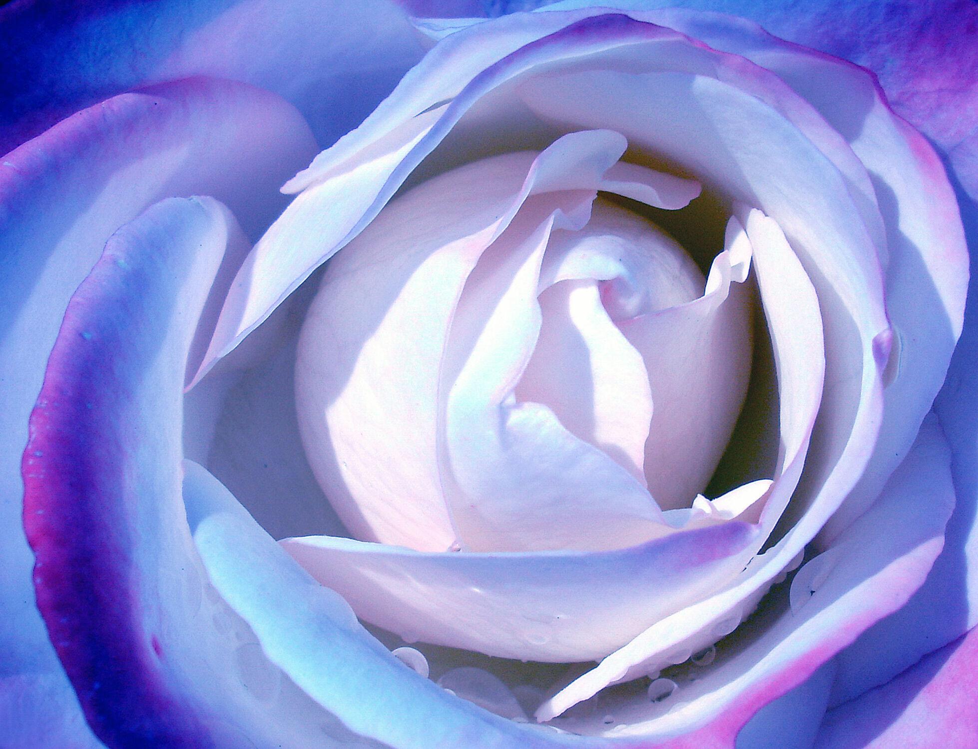 Bild mit Rosen, Blau, Rose, Flowers, romantik, Schönheit, Blüten, blüte, Liebe