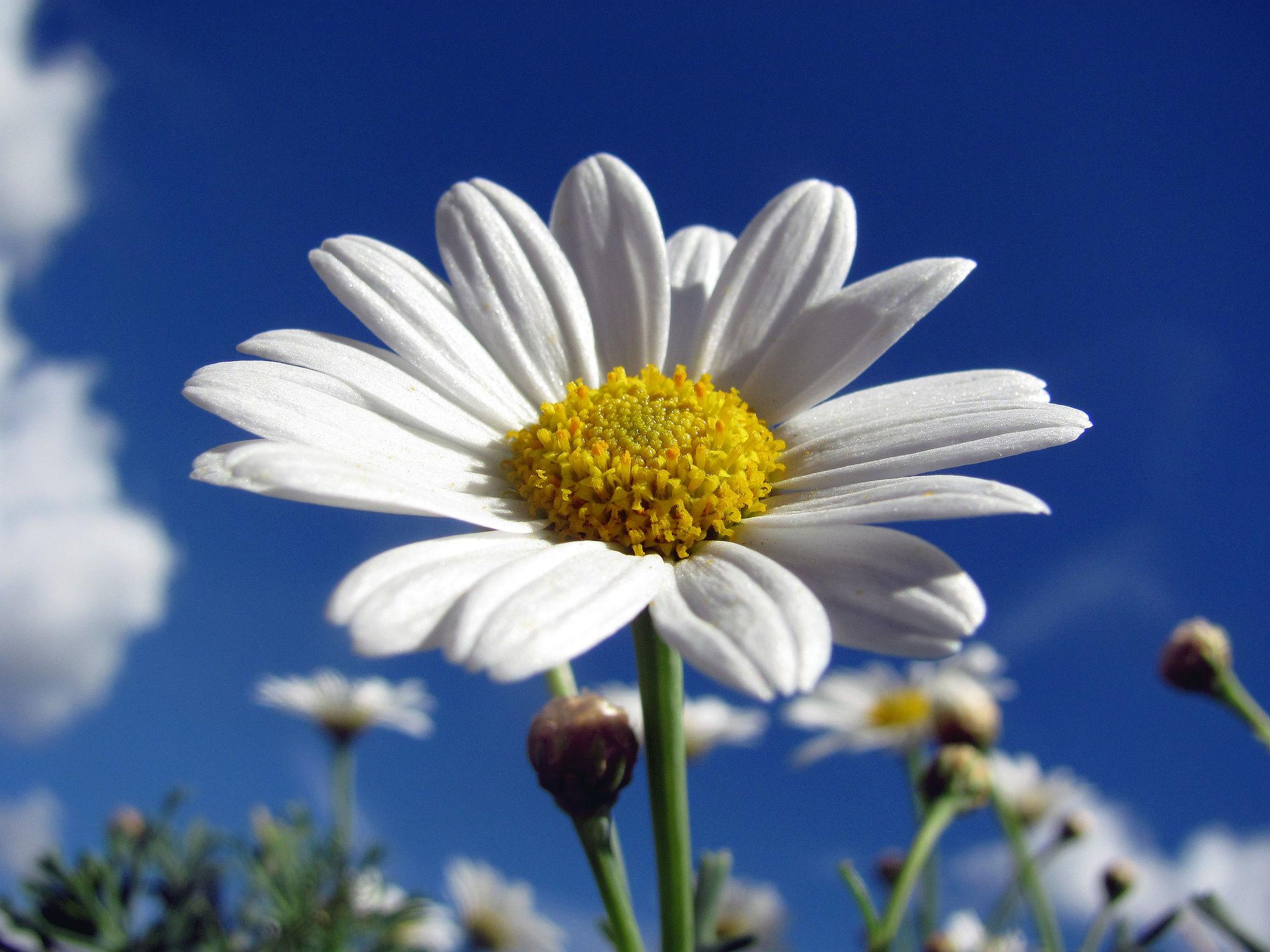 Bild mit Pflanzen, Pflanzen, Blumen, Blume, Margariten, Blüten, blüte, margarite