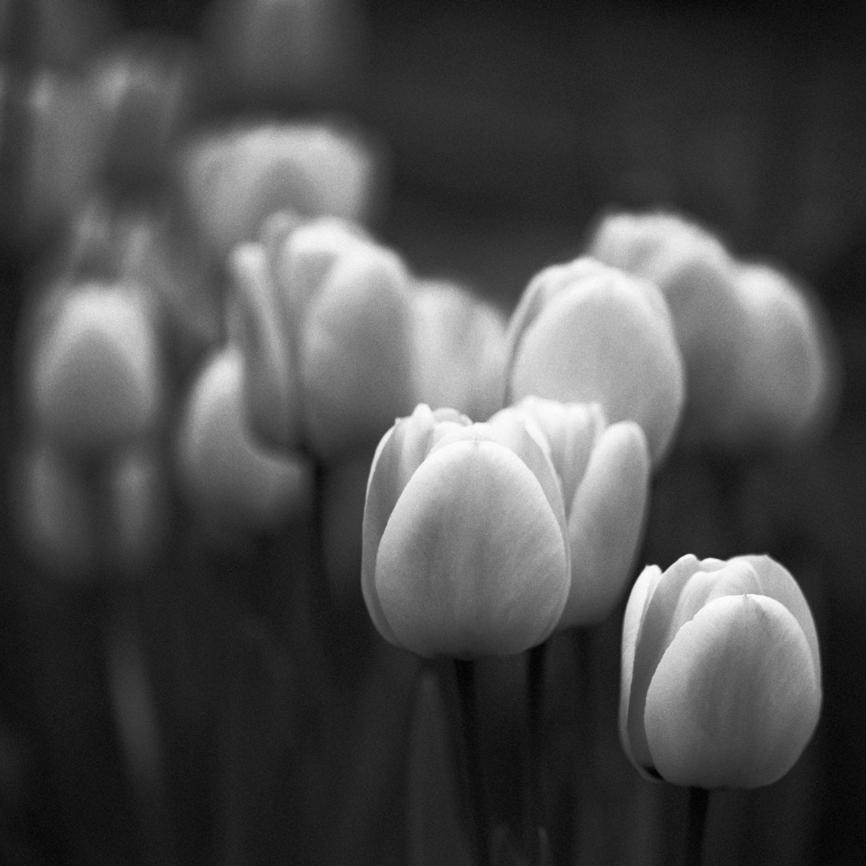 Bild mit Natur, Blumen, Blume, Tulpe, Tulpen, Blüten, blüte, schwarz weiß, SW
