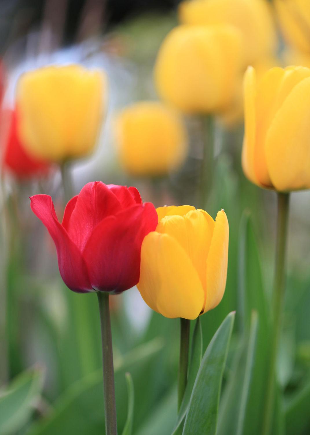 Bild mit Pflanzen, Blumen, Blumen, Tulpe, Tulpen, Blüten, blüte