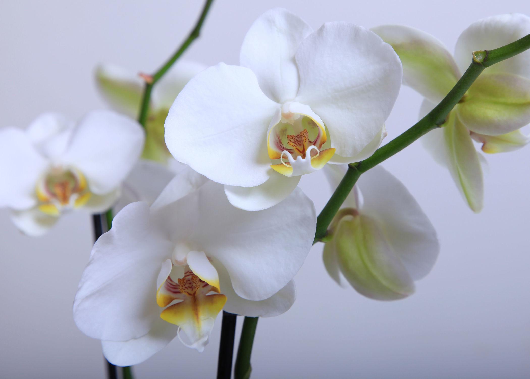 Bild mit Blumen, Orchideen, Blume, Orchidee, Blüten, blüte