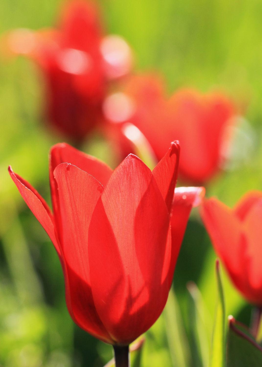Bild mit Pflanzen, Blumen, Blume, Pflanze, Tulpe, Tulpen, rote Tulpe, rote Tulpen, Blüten, blüte