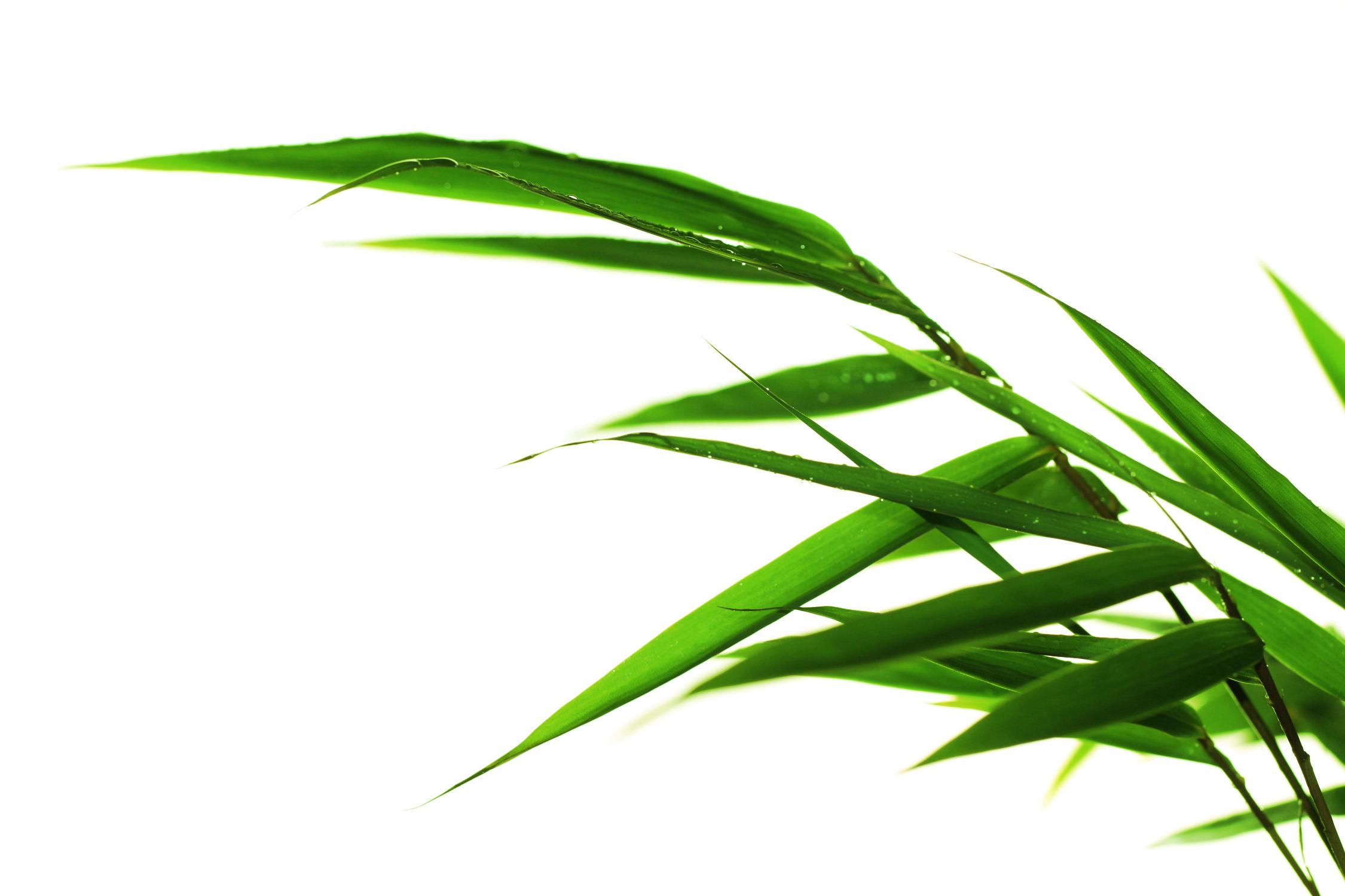 Bild mit Natur, Wälder, Bambus, Wald, Blätter, Wassertropfen, Regentropfen, Tropfen, bambuswald, Bambusblätter