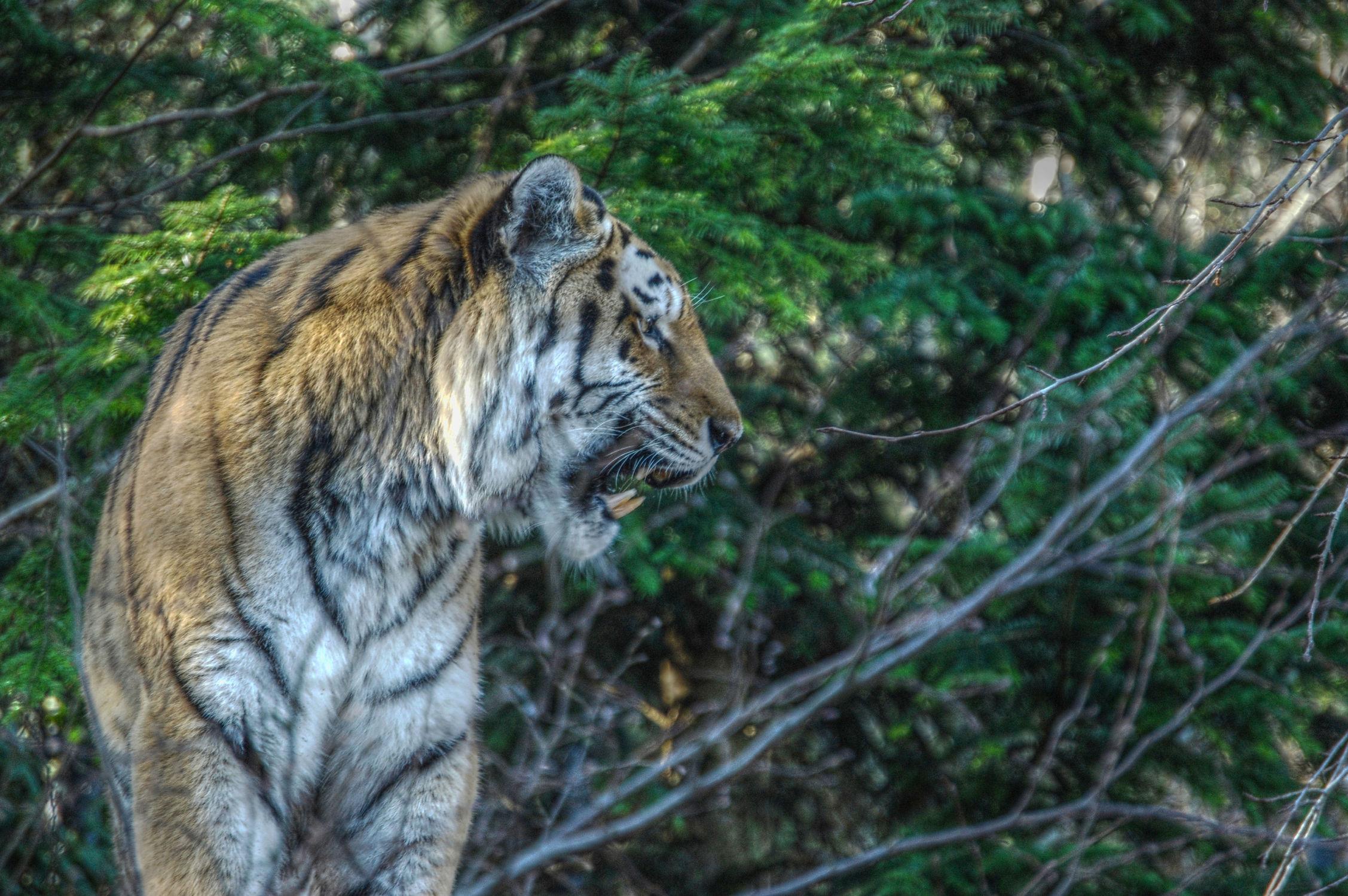 Bild mit Tier, Dies & Das, Tiger