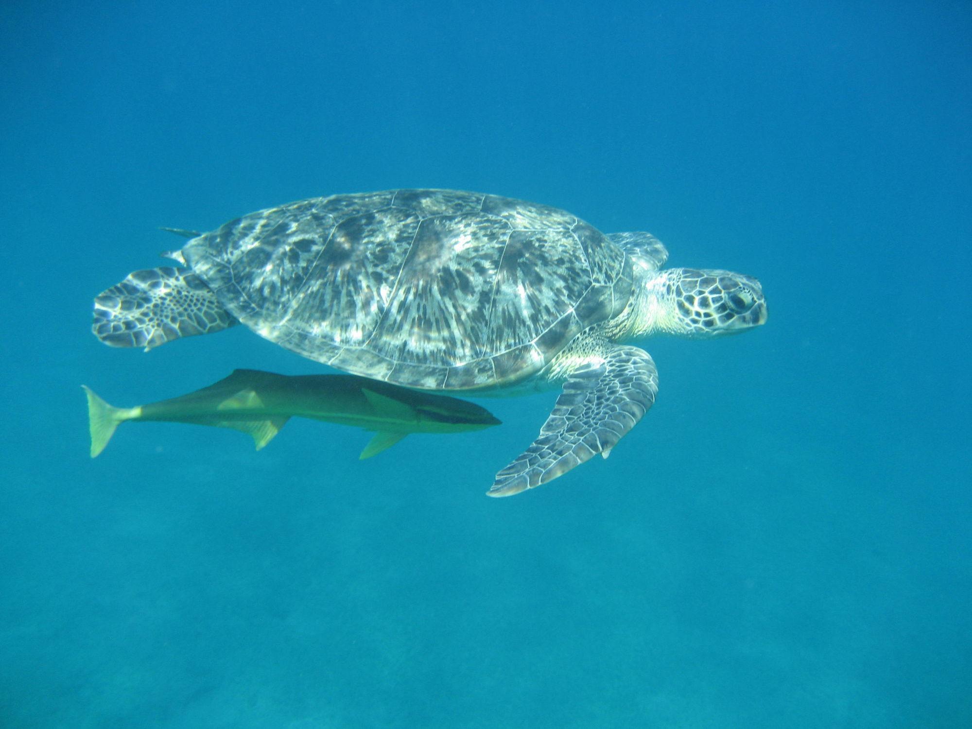 Bild mit Korallen, Unterwasser, Meer, Unterwasserwelt, Tierwelt, Schildkröte, Schildkröten, ozean, Meeresschildkröte, Korallenriff, meeresschildkröten