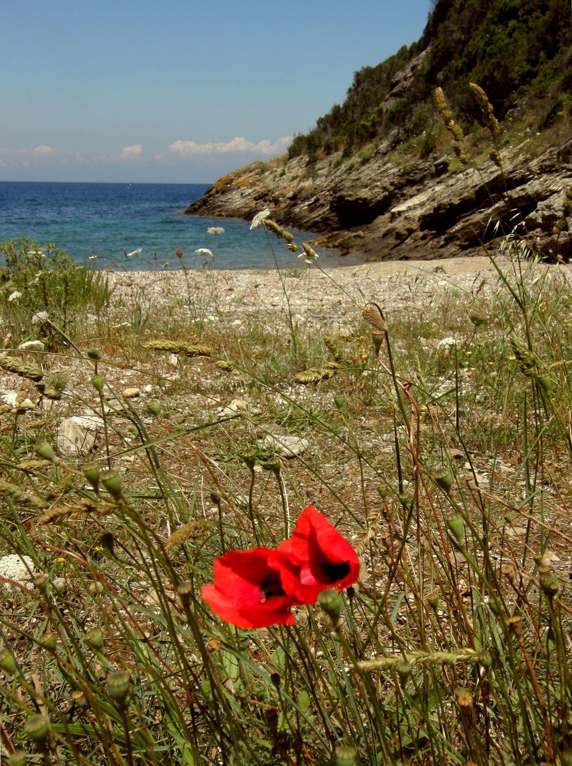Bild mit Mohn, Meerblick, Mohnblume, Sehnsucht nach Meer, Mohnblumen