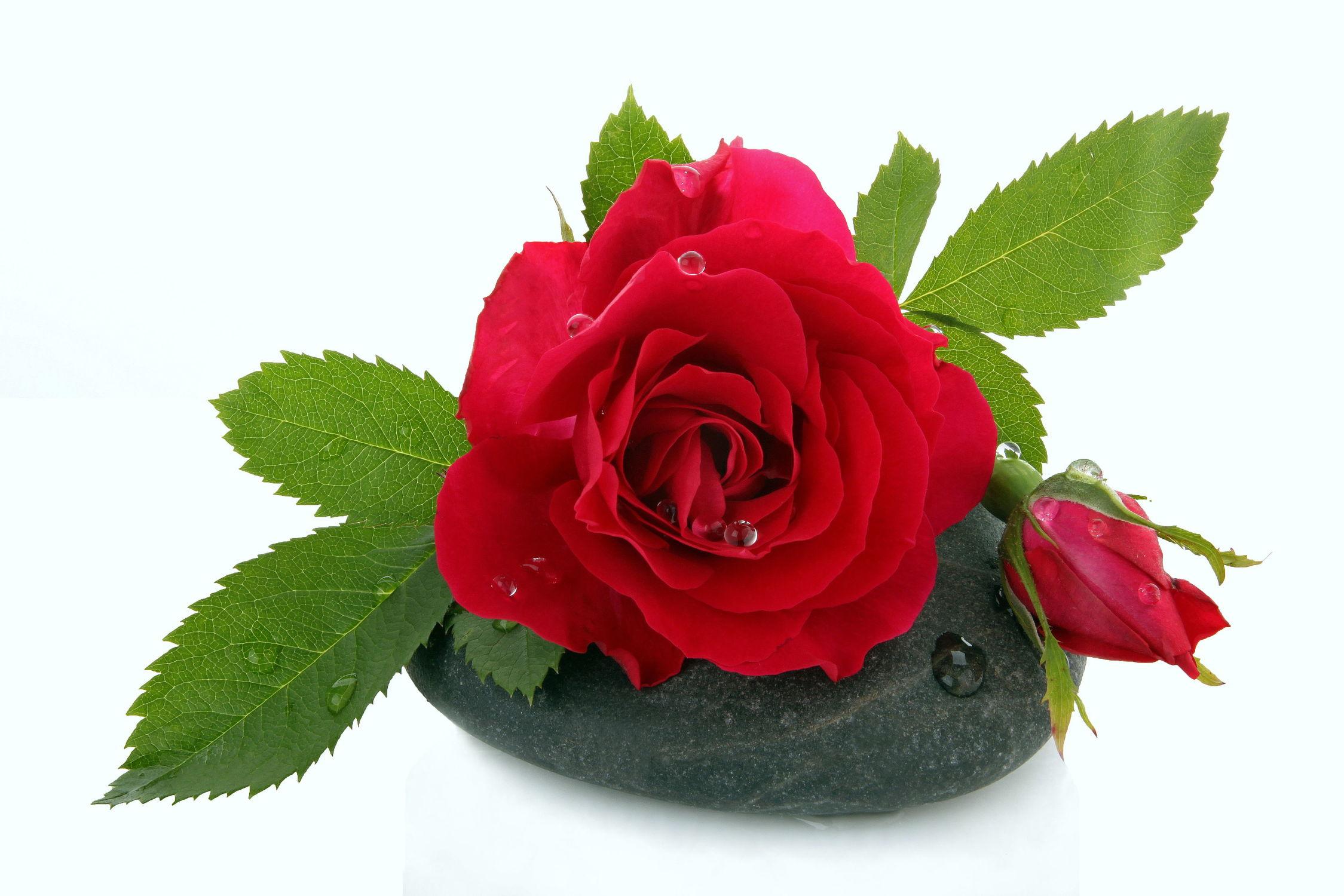 Bild mit Pflanzen, Blumen, Rosen, Blume, Rose, Floral, Floral, Flora, Blüten, blüte