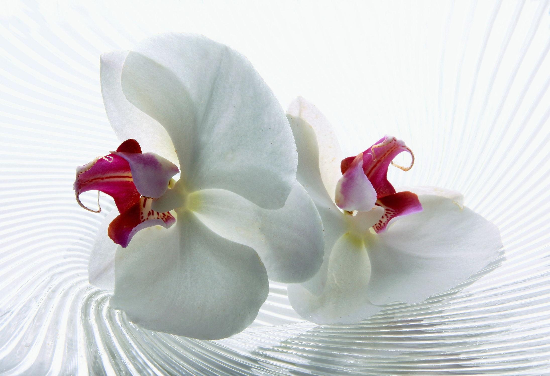 Bild mit Orchideen, Blume, Orchidee, Fauna, Floral, Flora, Stilleben, Florales, blüte