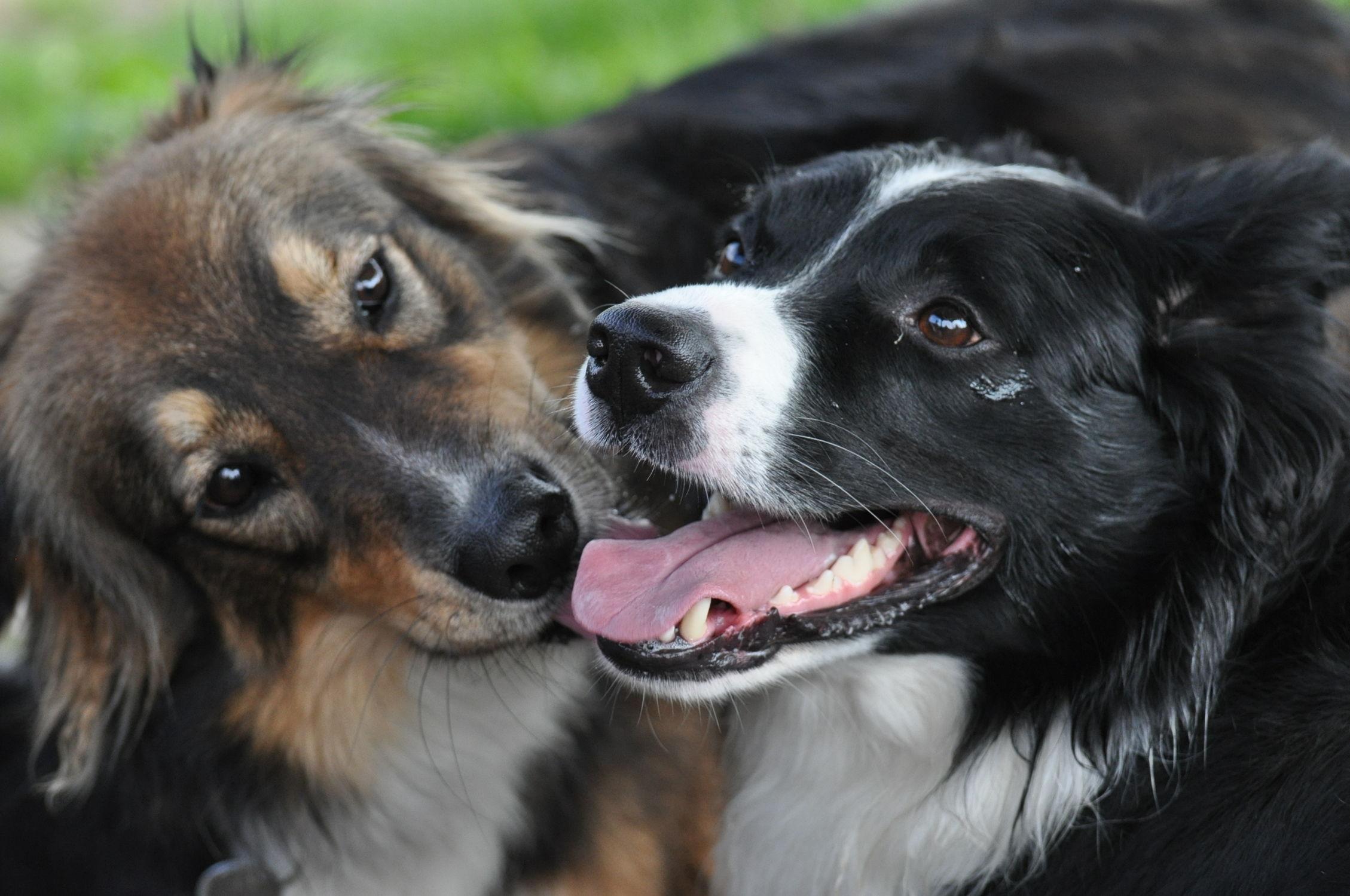 Bild mit Tiere, Hunde, Tier, Hund, Dog, Hundebild, Tierwelt, australian shepherd, Border Collie