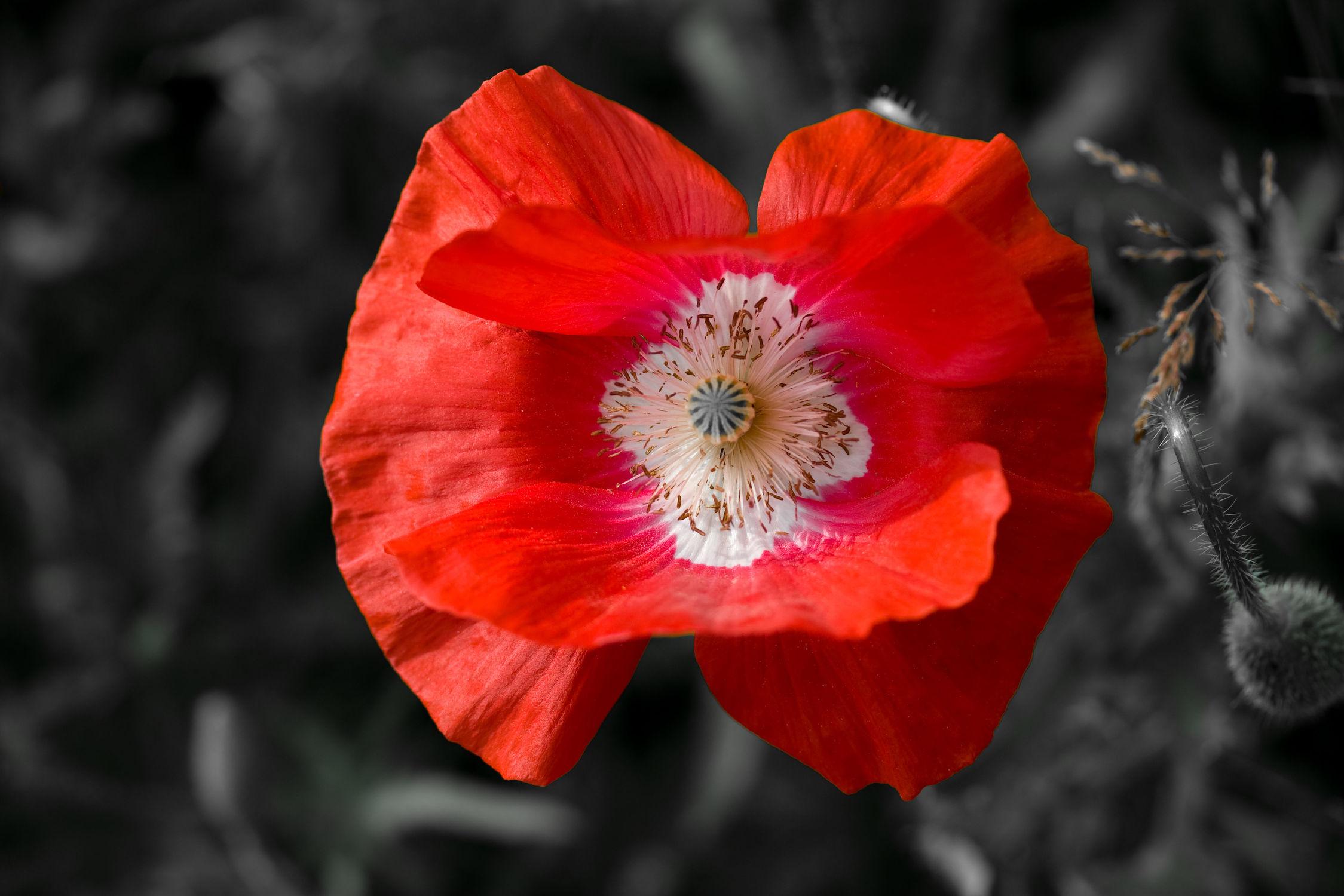 Bild mit Mohn, Blume, Mohnblume, Blüten, Mohnblumen