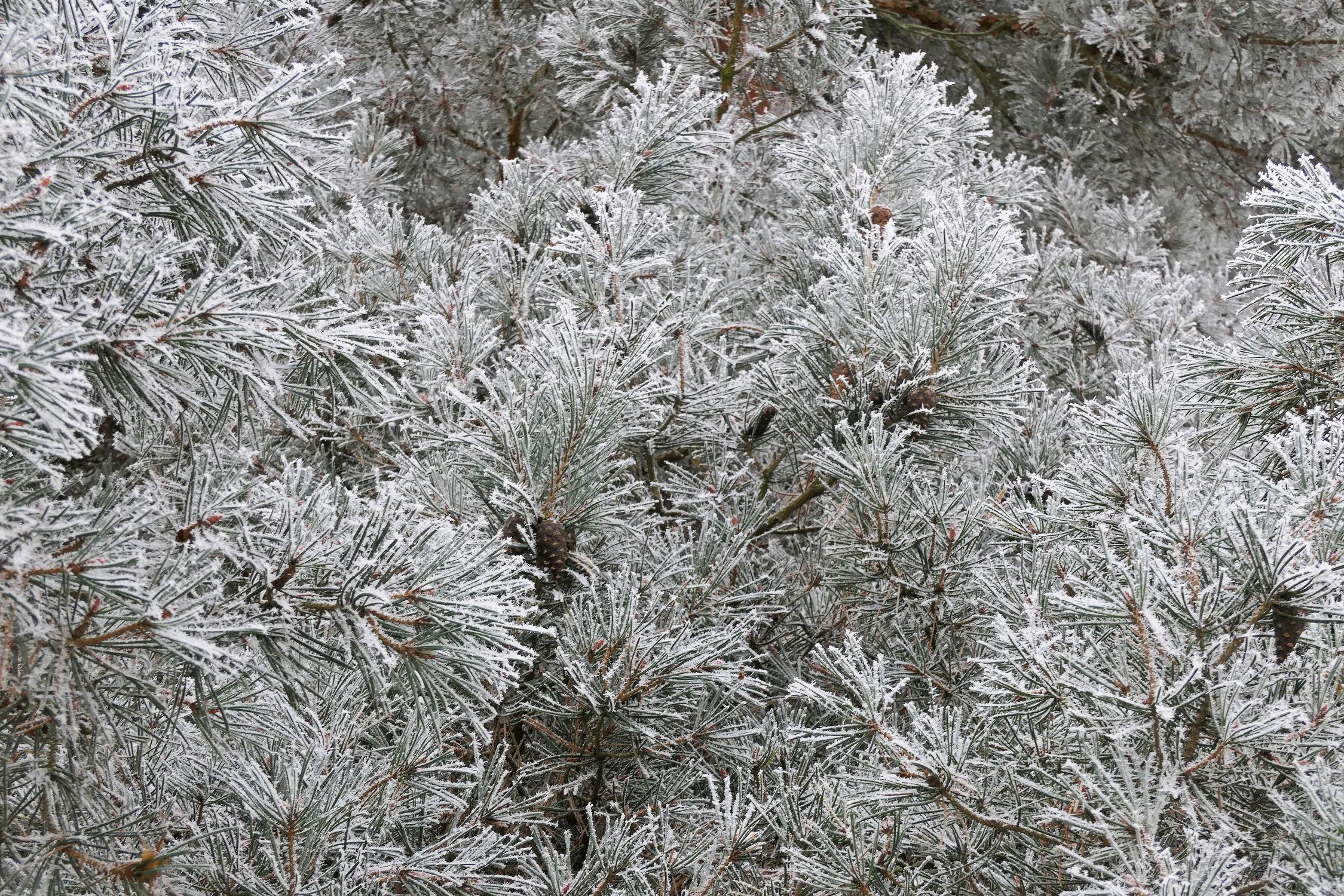 Bild mit Bäume, Winter, Schnee, Wälder, Wald, Baum, Kiefer, Frost, Ast, Winterwald, Zweig