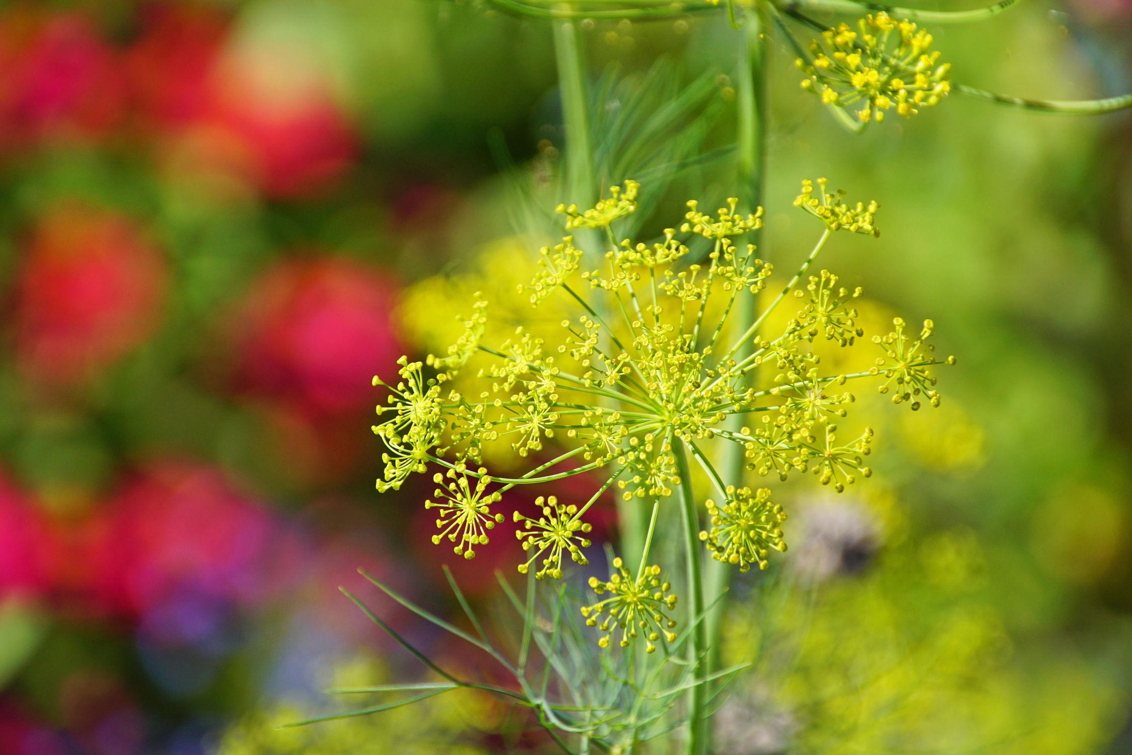 Bild mit Pflanzen, Kräuter, Pflanze, Dill
