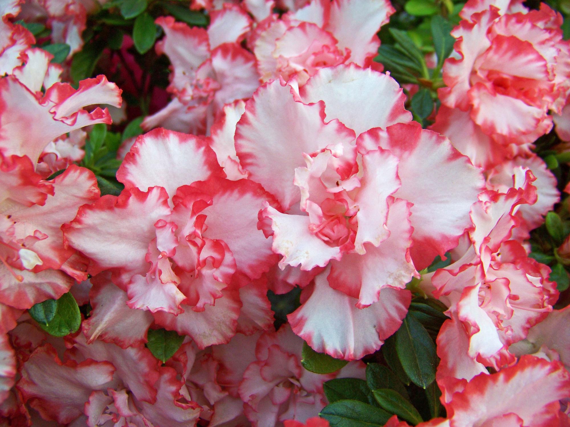 Bild mit Blumen, Frühling, Azaleen, Blume, Blüten, blüte, Rhododendron, azalee