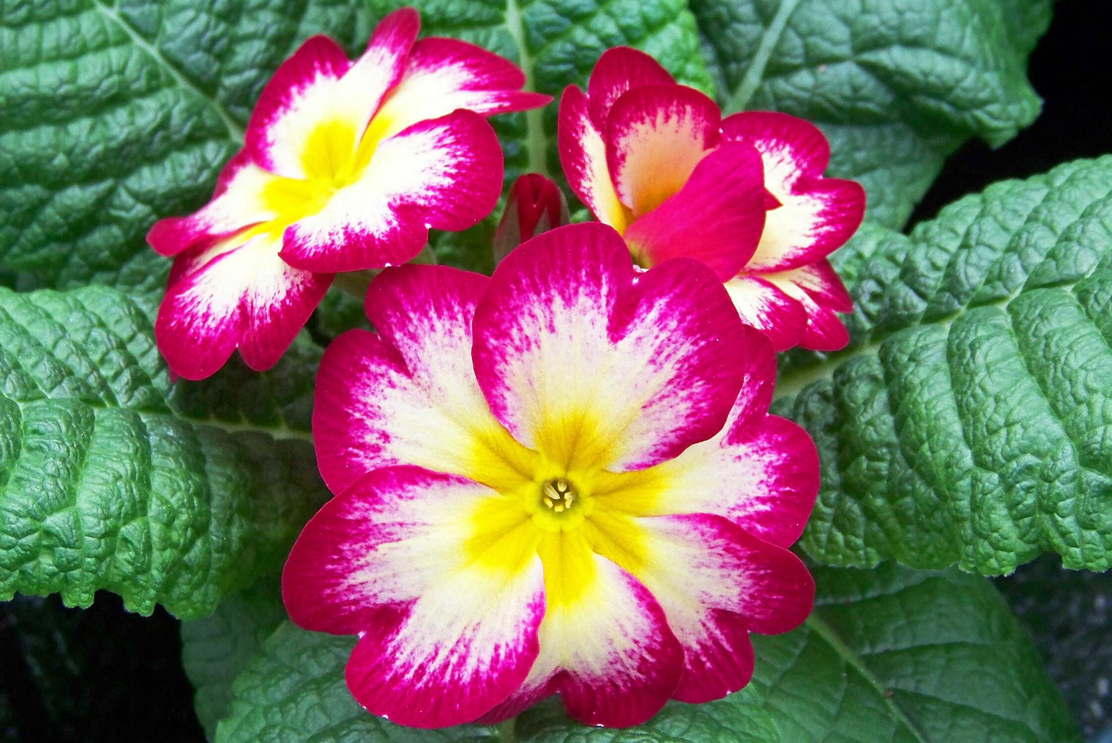Bild mit Pflanzen, Blumen, Frühling, Blume, Pflanze, Wiese, primel, Blüten, garten, blüte, frühjahr, Wiesen