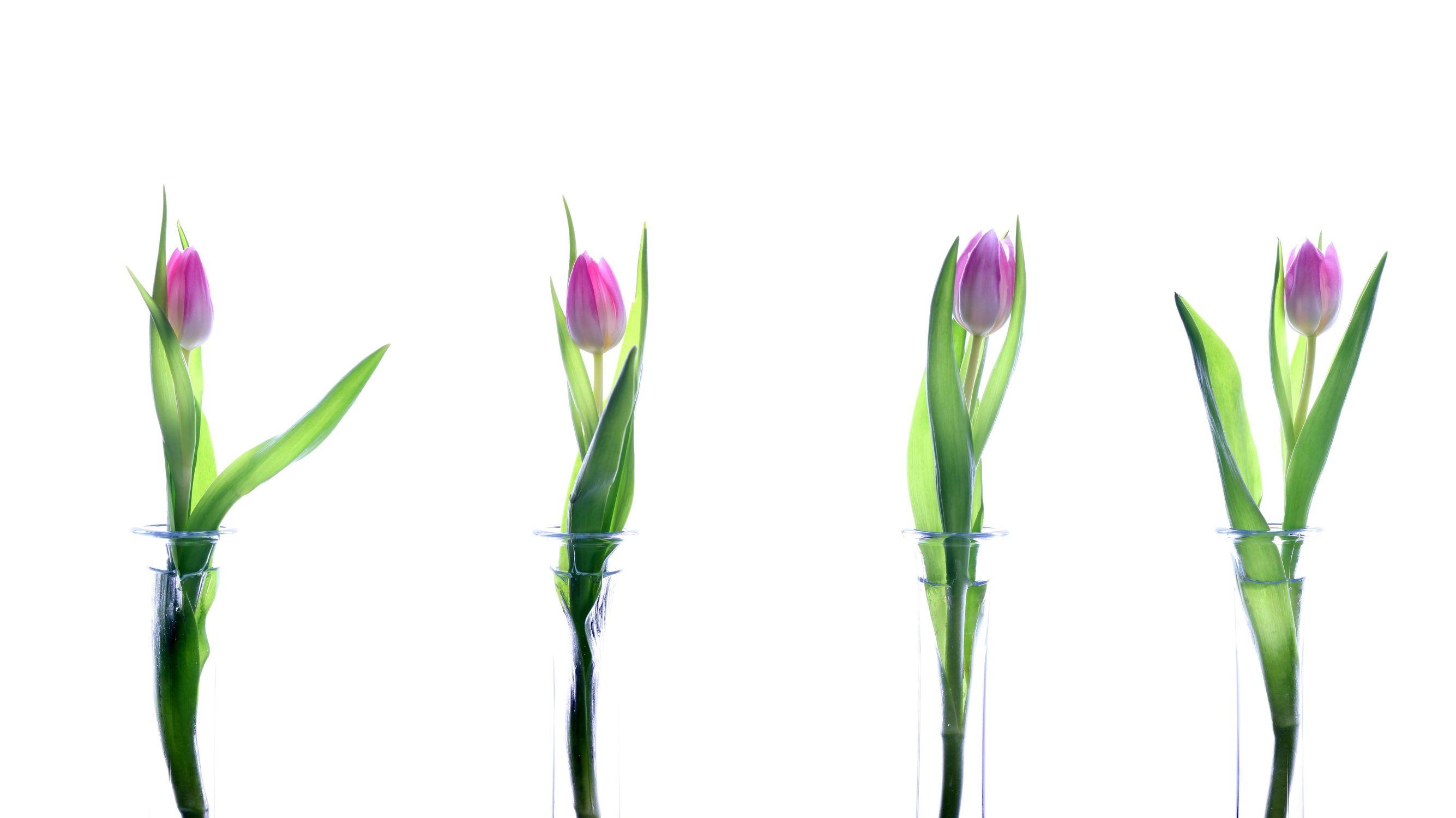 Bild mit Blumen, Blume, Tulpe, Tulpen, weißer Hintergrund
