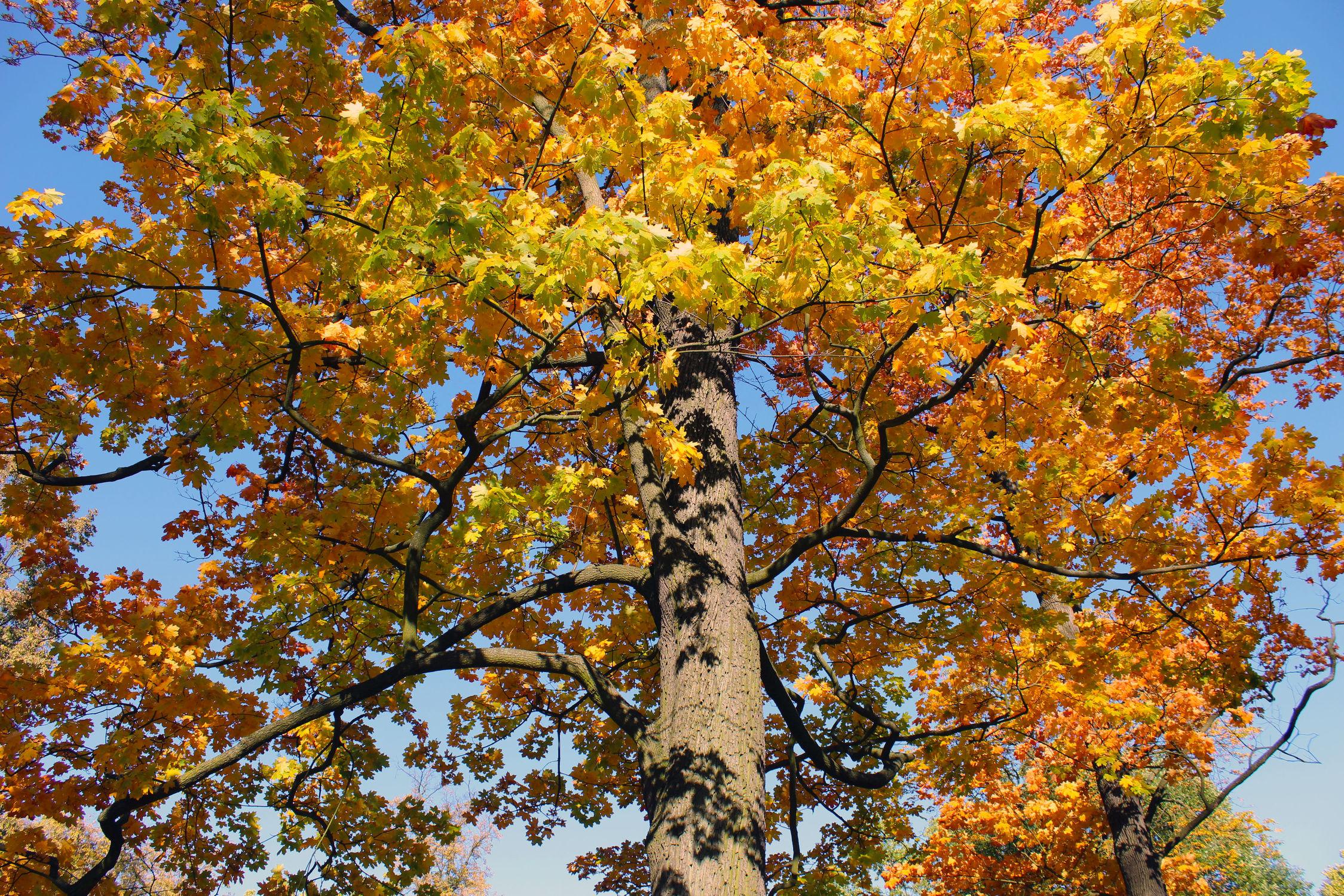 Bild mit Bäume, Baumkrone, Baum, Laubbaum, Tree, Trees, Herbstblätter, Laub am Baum, Blick in die Baumkrone