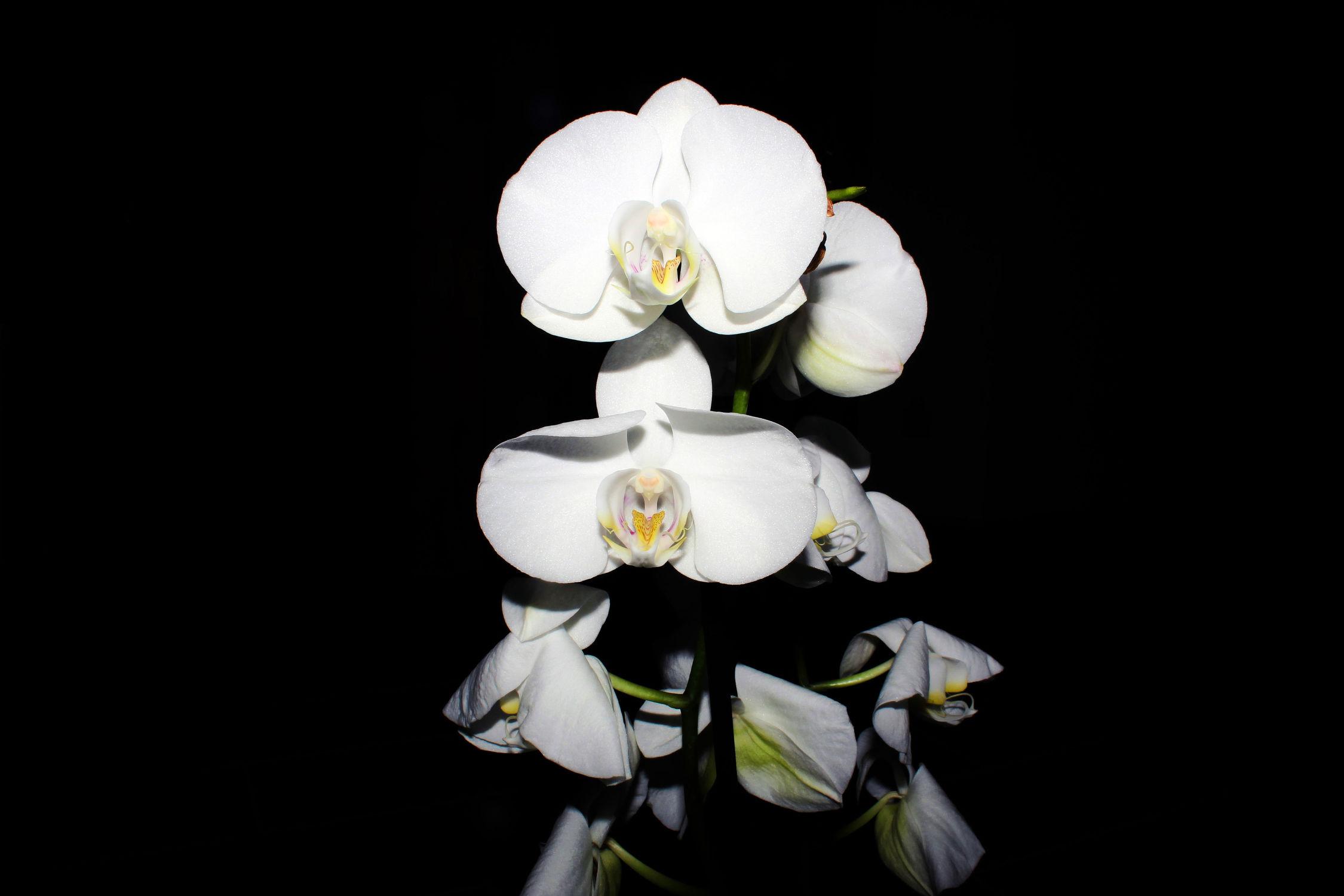 Bild mit Pflanzen, Blumen, Orchideen, Blume, Orchidee, Orchid, Orchids, Orchideengewächse, Pflanze, Orchidaceae, Grammatophyllum speciosum, Tiger Orchidee