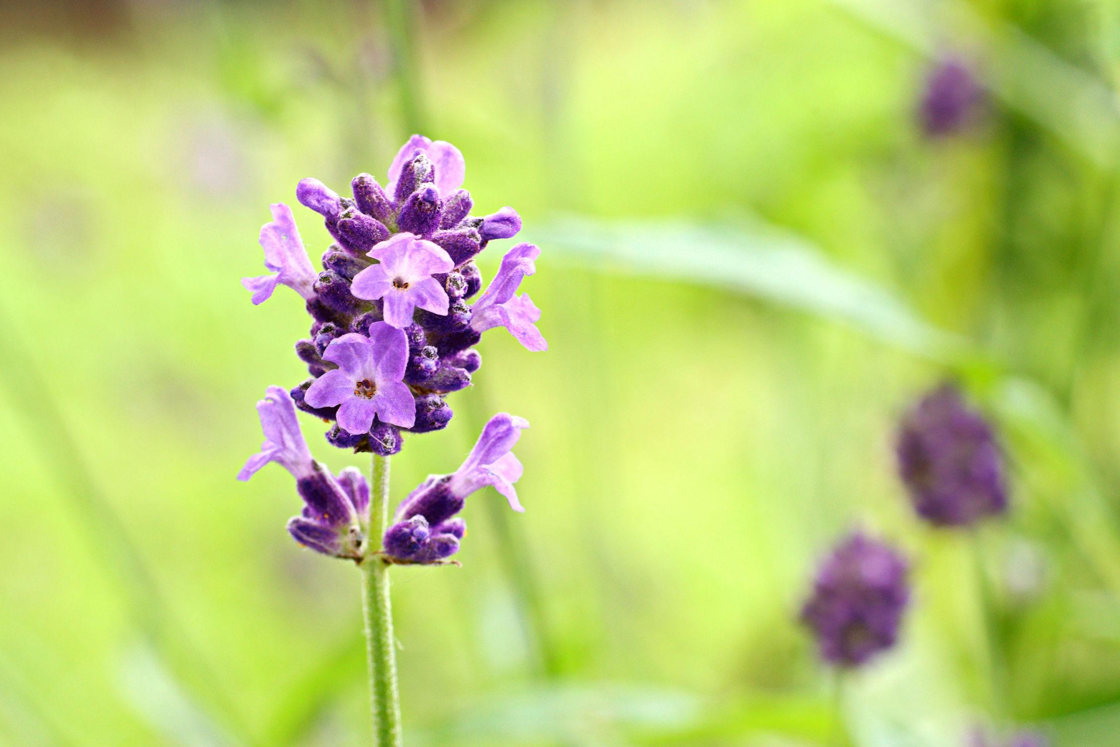 Bild mit Natur, Pflanzen, Blumen, Lavendel, Blume, Pflanze, Makro, blüte, Lavandula