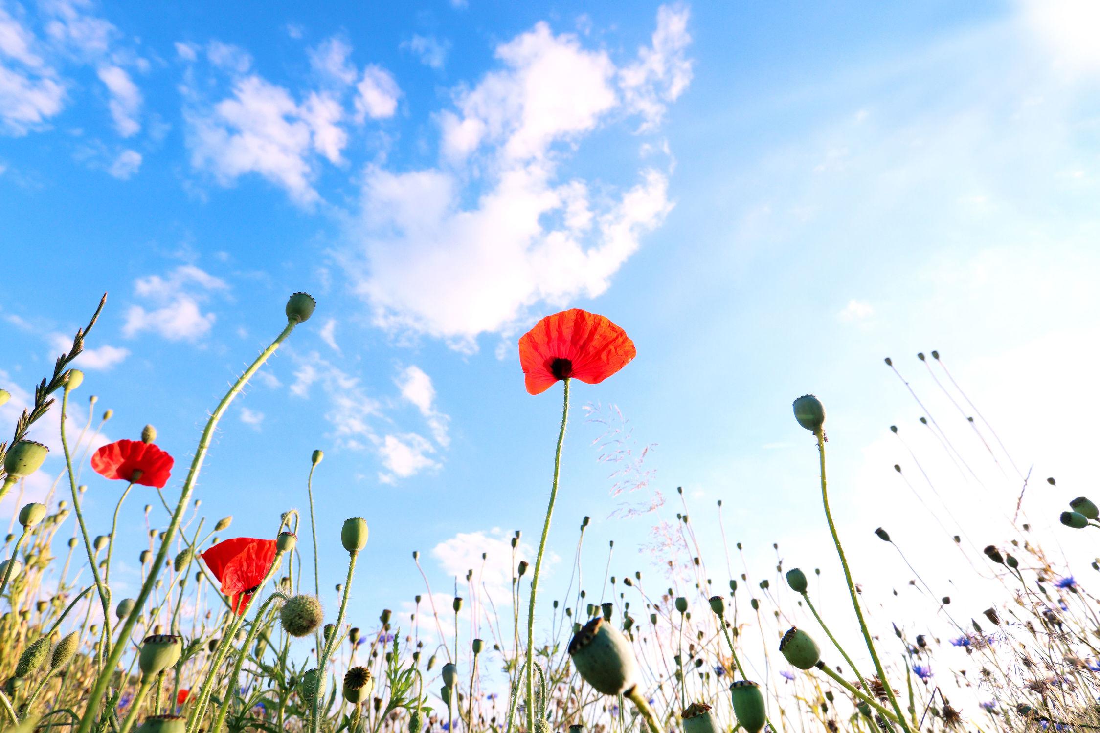 Bild mit Natur, Pflanzen, Blumen, Mohn, Blume, Pflanze, Mohnblume, Klatschmohn, Mohnfeld, Makro, blüte