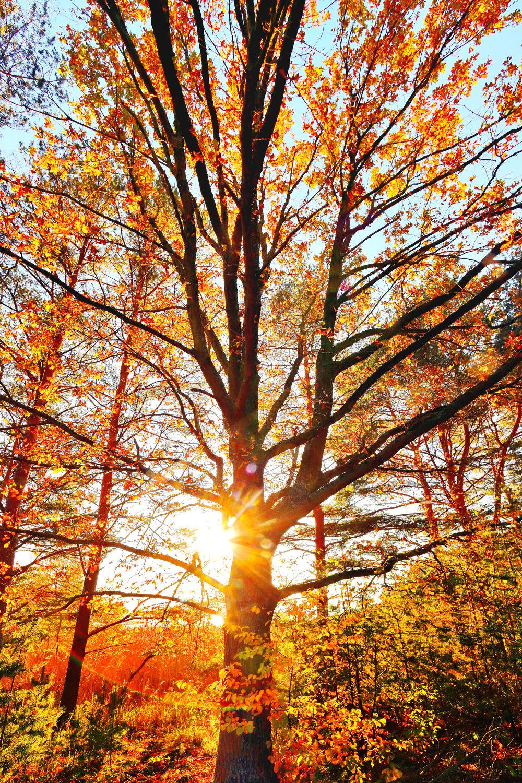 Bild mit Natur, Herbst, Baumkrone, Baum, Eiche, Landschaft, Laubbaum, Gegenlicht, Jahreszeit, autumn