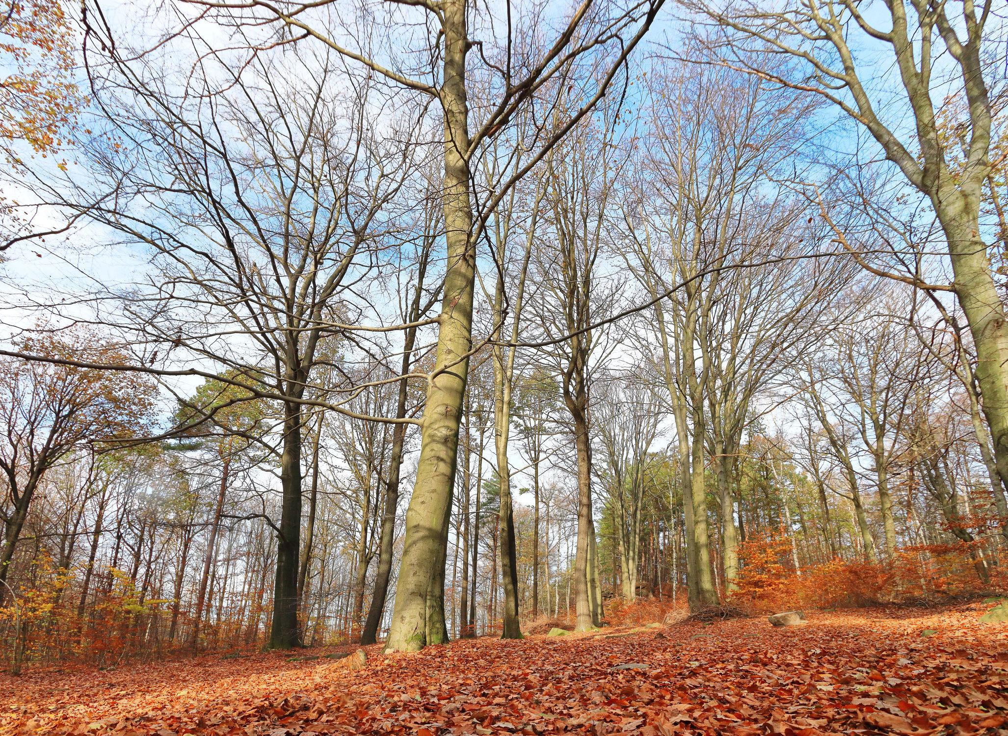 Bild mit Natur, Bäume, Wälder, Herbst, Laubbäume, Wald, Baum, Landschaft, Laubbaum, Hain, Buche, Buchen Hain, Laub, Jahreszeit, autumn