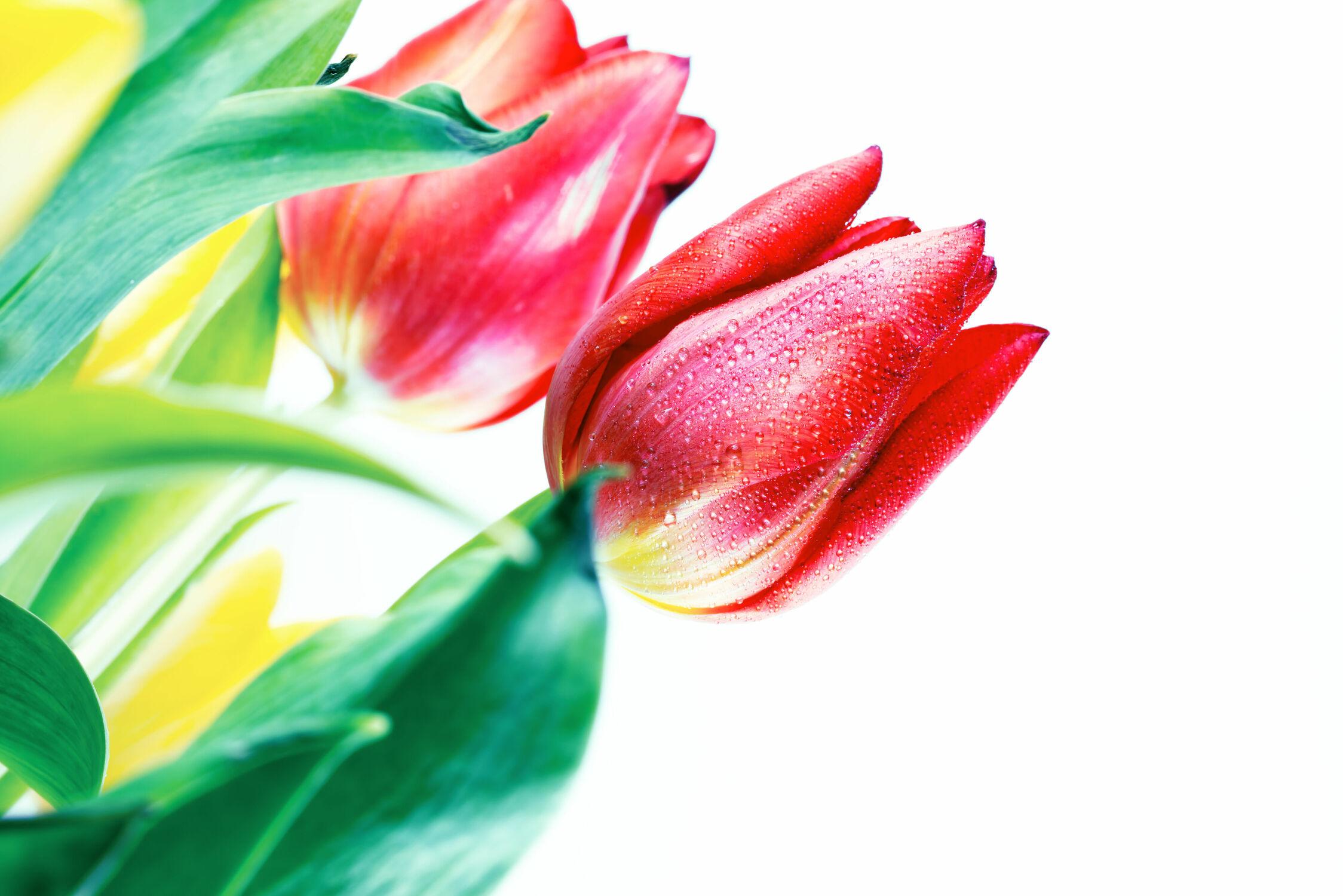 Bild mit Blumen, Blume, Tulpe, Tulips, Tulpen, Tulip