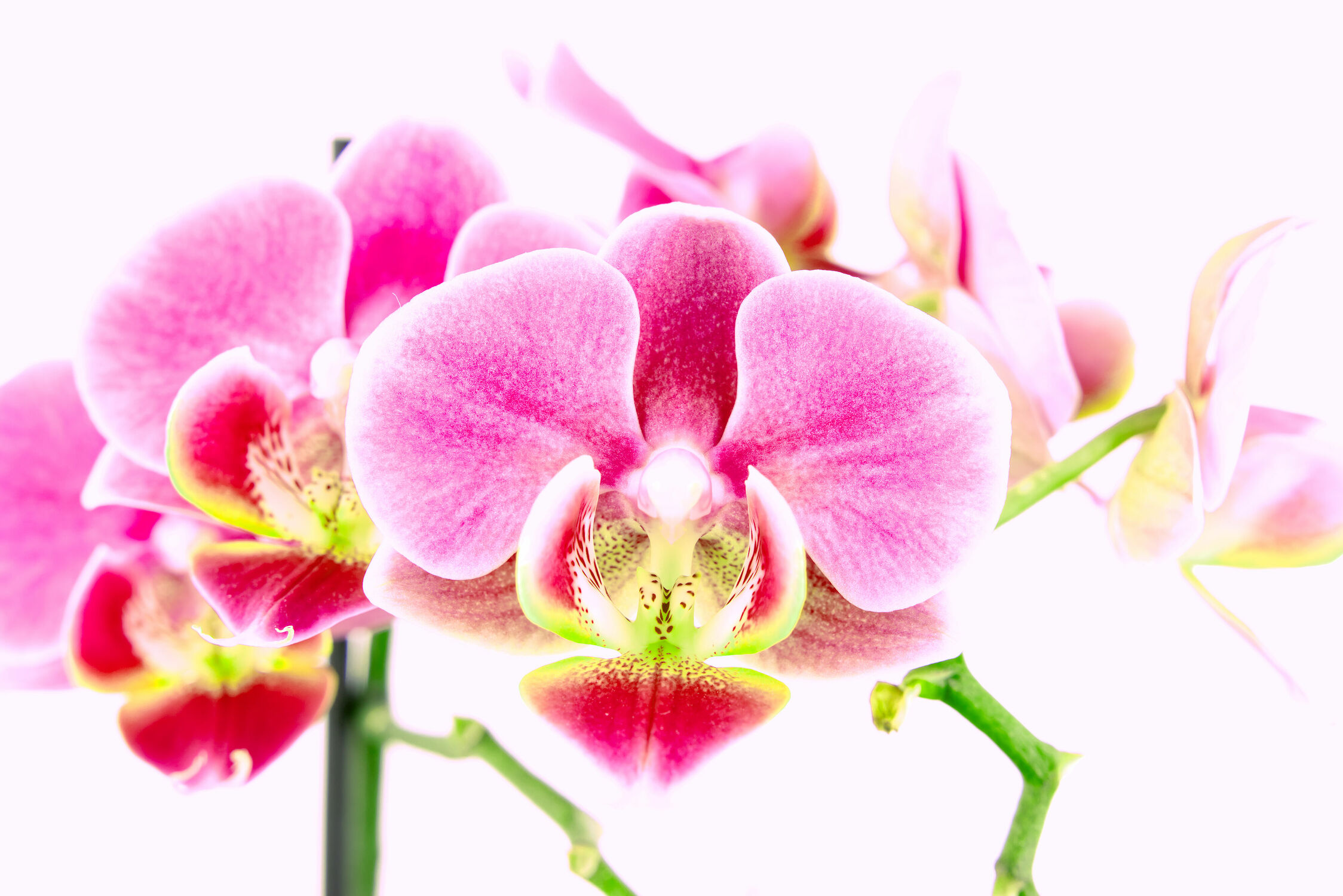 Bild mit Orchideen, Blume, Orchidee, Orchid, Orchids, Pflanze, Orchidaceae, Wellness, Spa, blüte