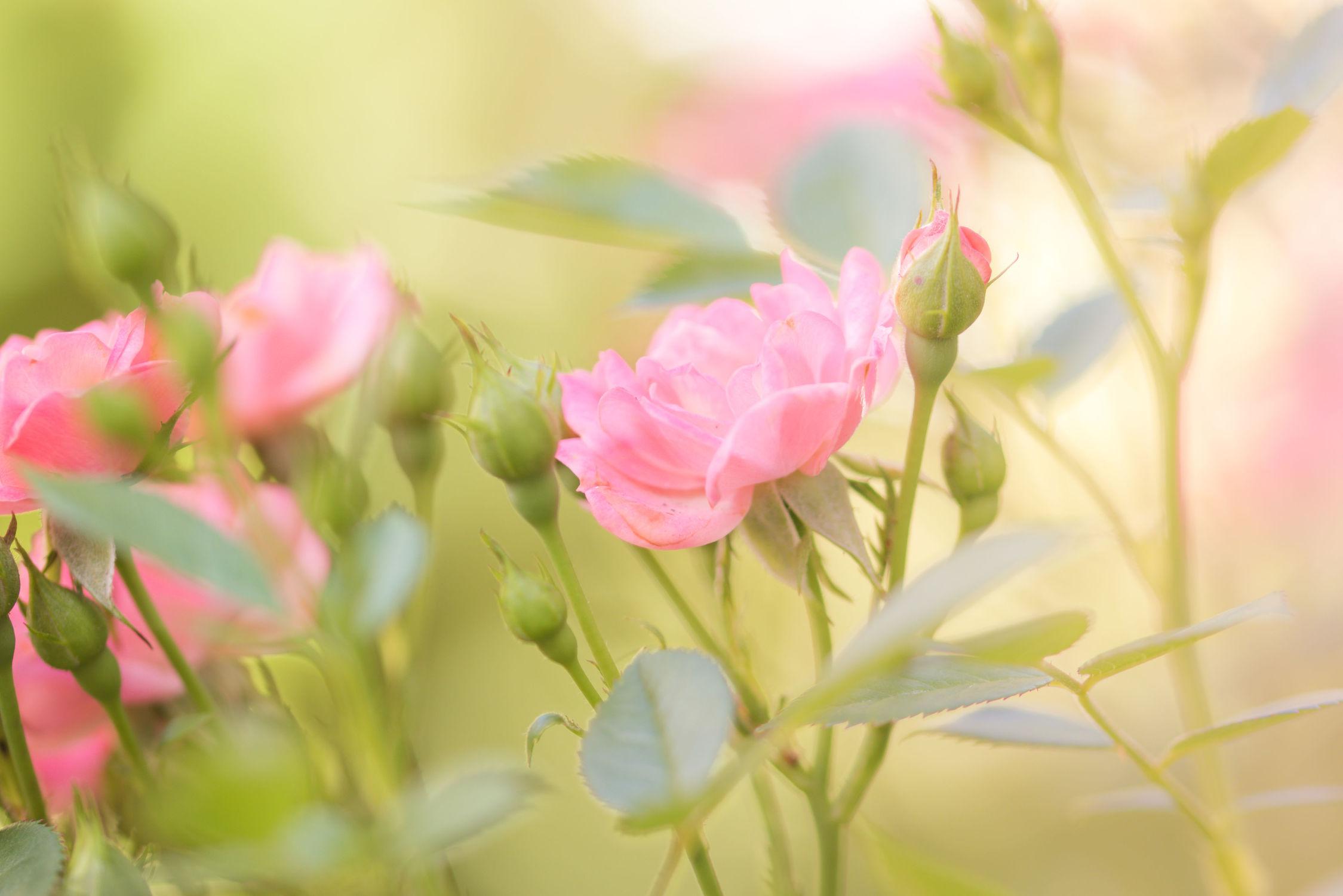 Bild mit Natur, Pflanzen, Blumen, Rosen, Blume, Pflanze, Rose, Flower, Flowers, Gartenrosen, DagmarGiers, Dagmarmarina