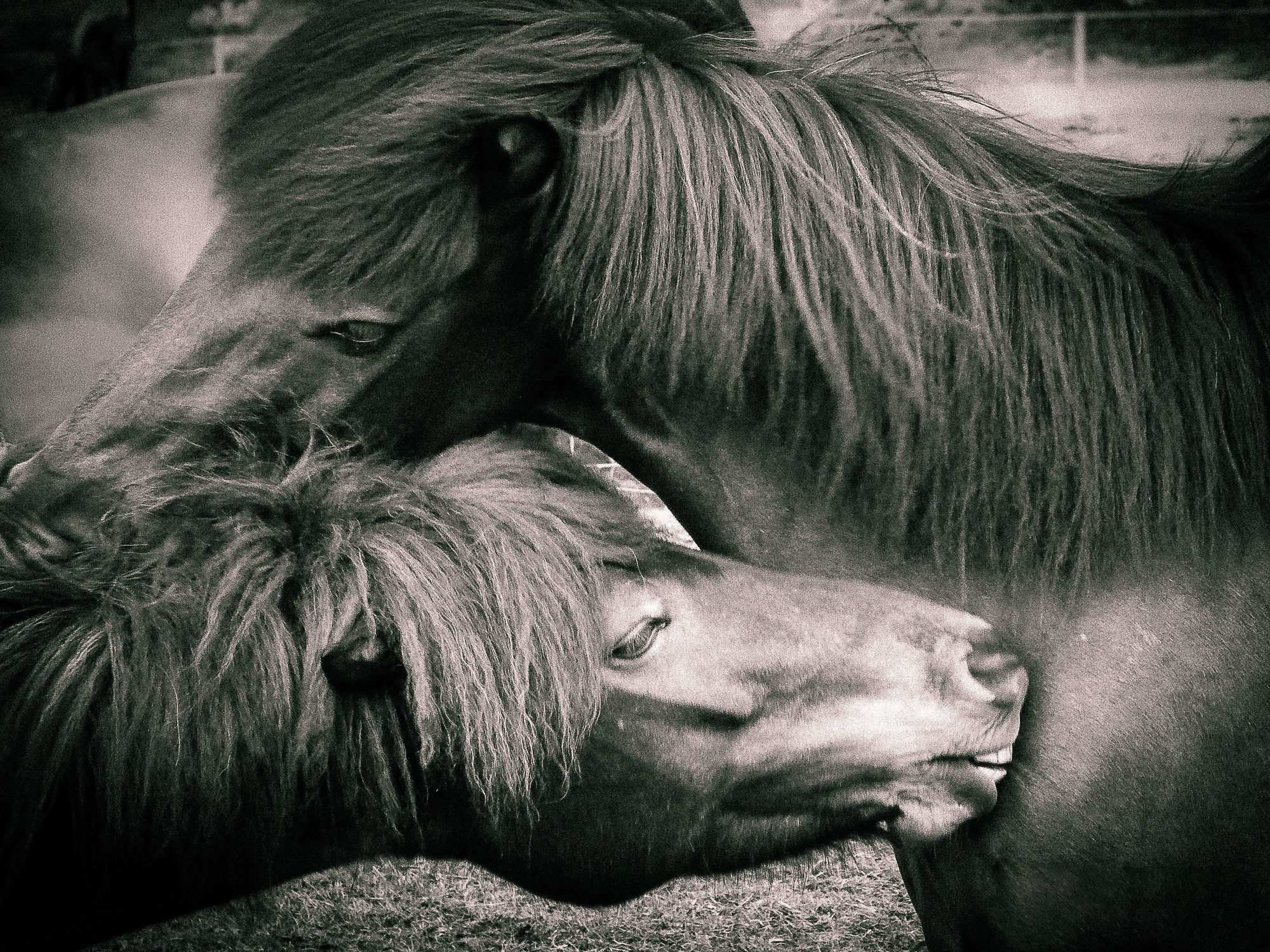 Bild mit Tiere, Tiere, Pferde, Pferde, Tier, Tier, Kinderbild, Kinderbilder, Pferd, Pferd, schwarz weiß, reiten, reiten, SW, Pferdeliebe, pferdebilder, pferdebild