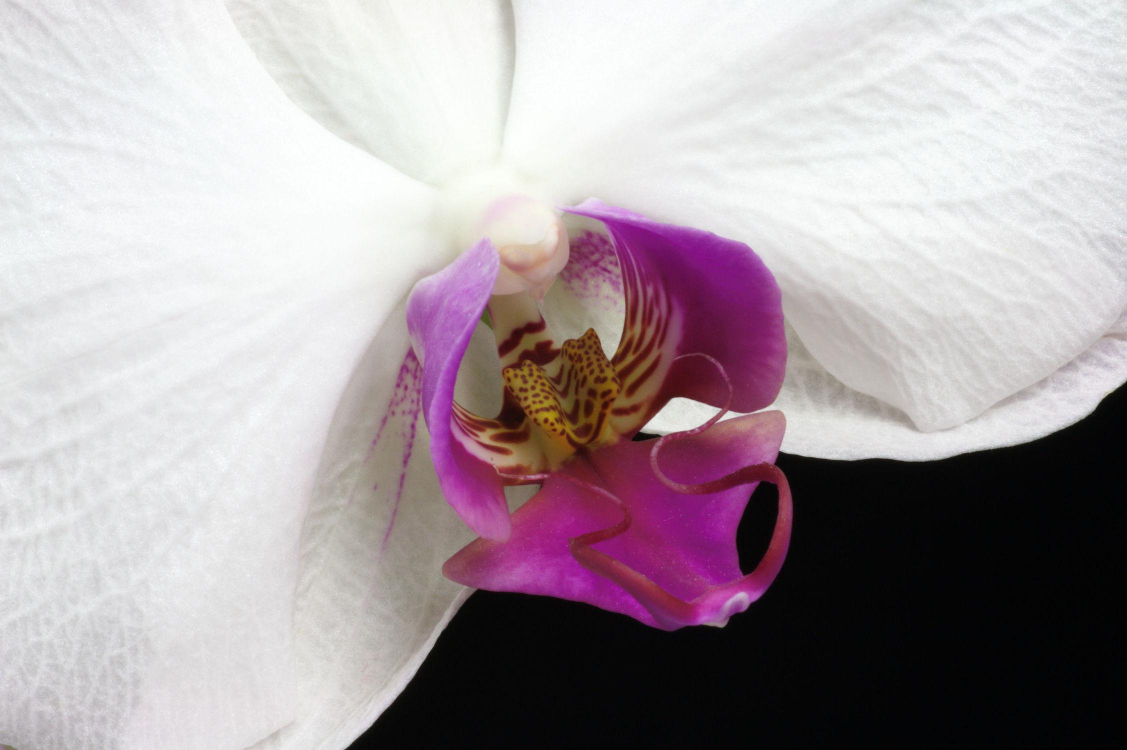 Bild mit Pflanzen, Blumen, Orchideen, Blume, Orchidee, Pflanze, Makro, Blüten, blüte