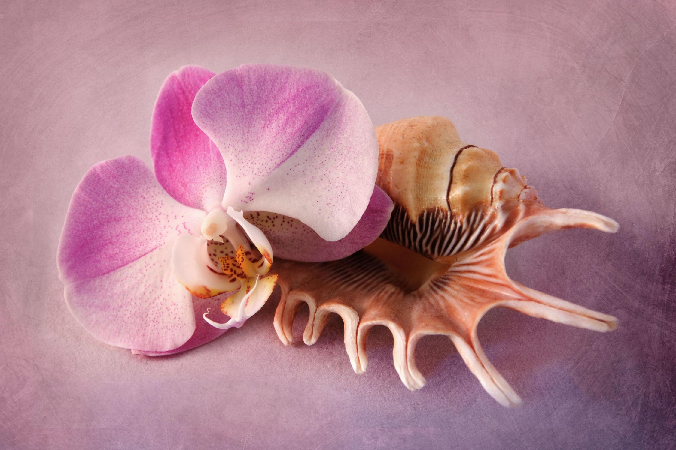 Bild mit Pflanzen, Blumen, Rosa, Orchideen, Blume, Orchidee, Pflanze, Muschel, Muscheln, Blüten, blüte
