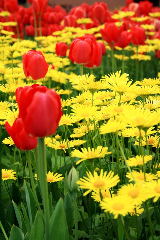 Bild mit Pflanzen, Blumen, Blume, Pflanze, Tulpe, Tulpen, Wiese, Fotografien, garten, Wiesen, gämswurz