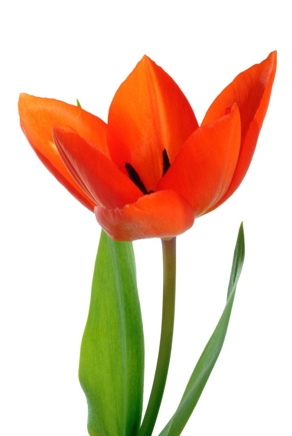 Bild mit Blumen, Frühling, Blume, Makro, Tulpe, Tulpen, Blüten, blüte, weißer Hintergrund