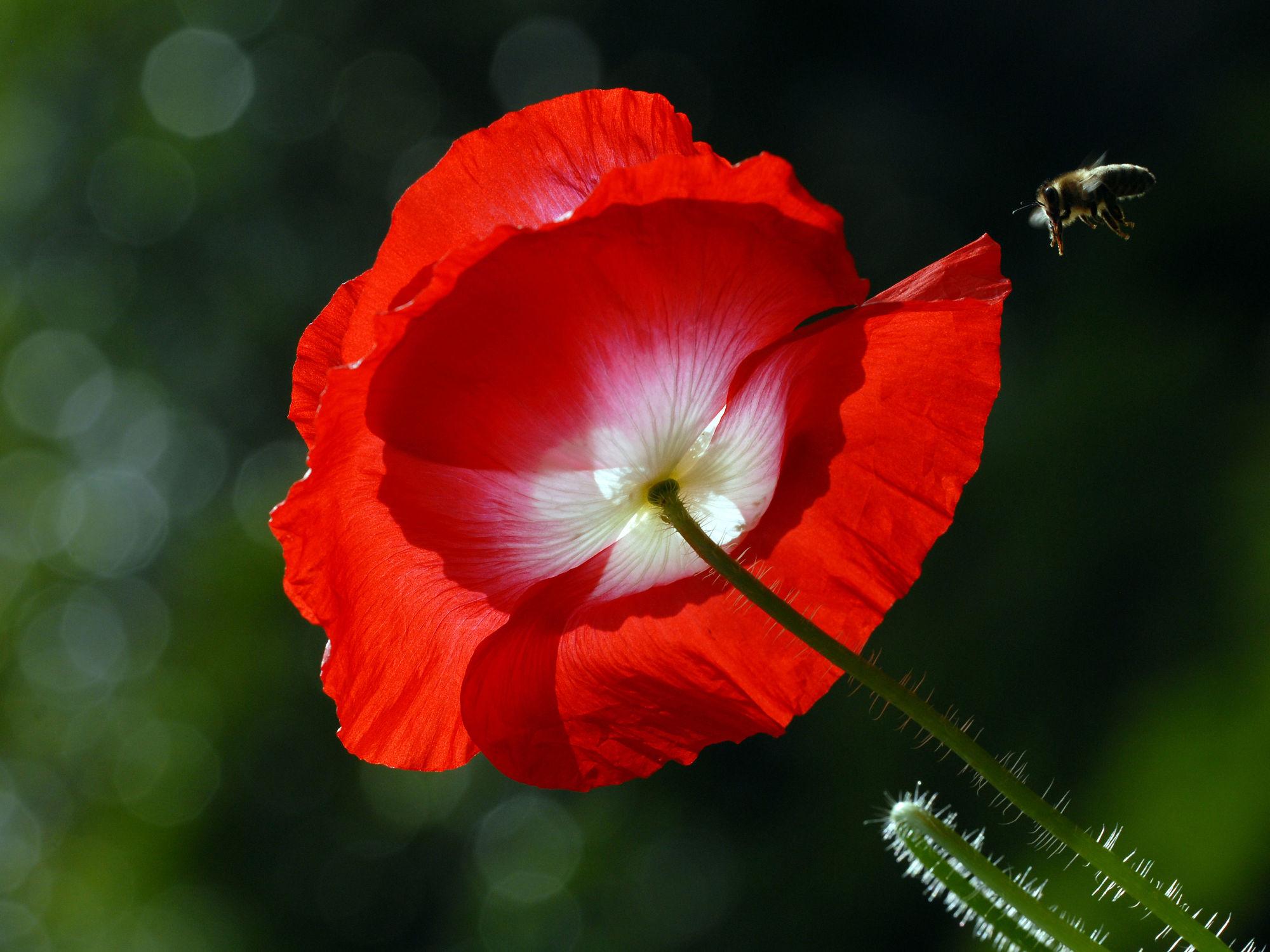 Bild mit Grün, Blumen, Weiß, Rot, Insekten, Sonne, Mohnblüte, Gegenlicht, Licht, Felder, garten, Wiesen, Biene