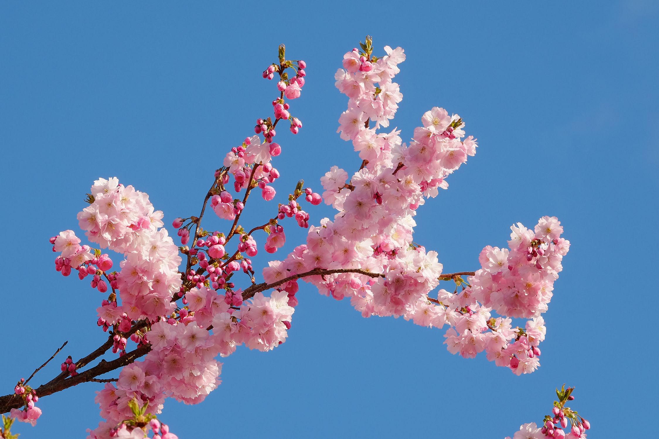Bild mit Orange, Himmel, Frühling, Blau, Braun, Azur, Zierkirsche, Japanische