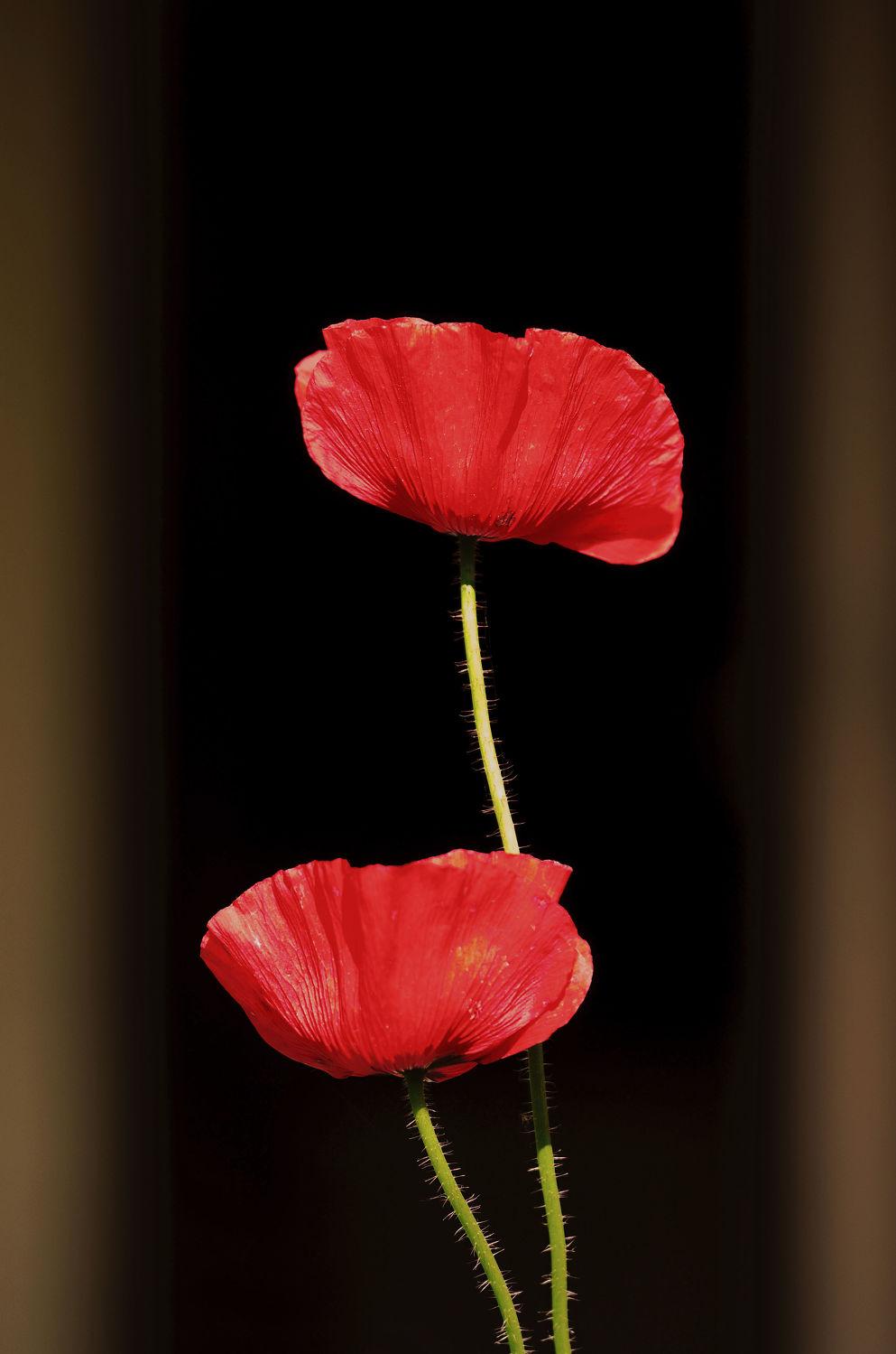 Bild mit Blumen, Rot, Herbst, Herbst, Mohn, Makro, garten, FARBE, nahaufnahme, Ausspannen, Farbpunkte, Stengel, Herbstgarten