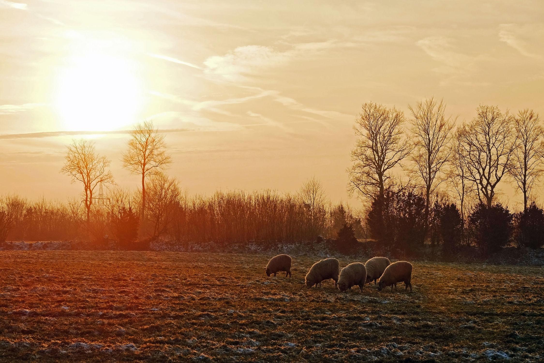 Bild mit Säugetiere, Landschaften, Schnee, Sonnenuntergang, Haustiere, Sonne, Sonnenschein, Schafe, Frost, Weide, Raureif, Nutztiere, Winterabendstimmung