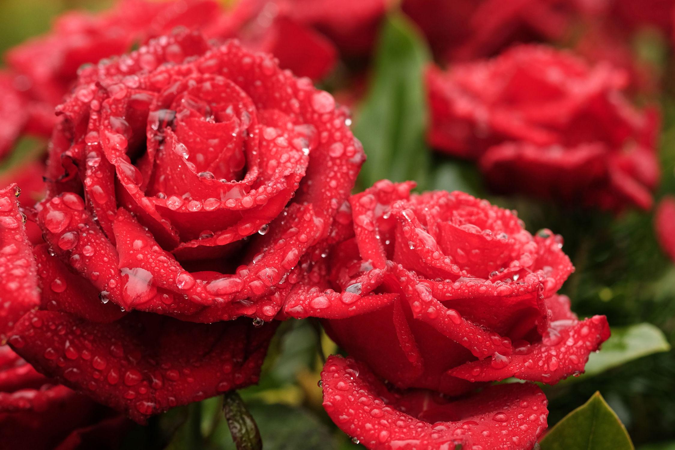 Bild mit Pflanzen, Blumen, Rot, Rosen, Regentropfen, Tropfen, Freundschaft, Ausspannen, Liebe, Tautropfen, Tränen, Duett
